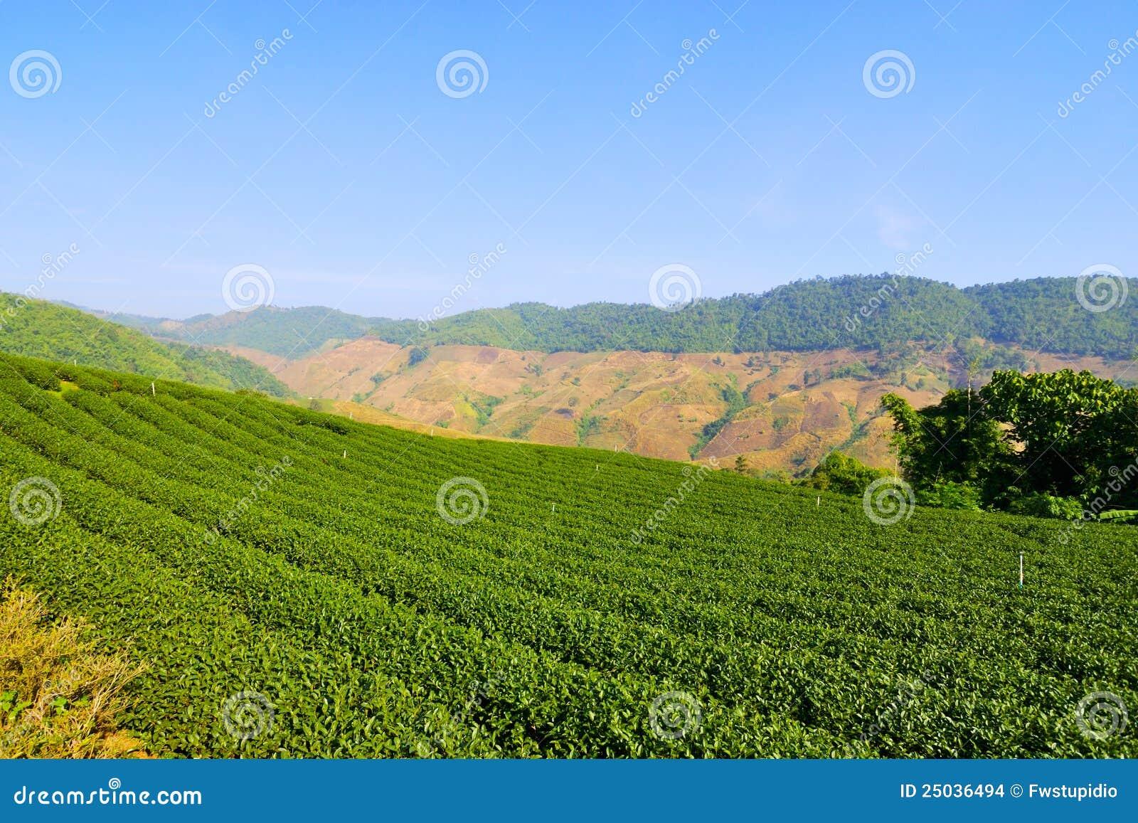 Trädgårds- grön raitea thailand för chiang