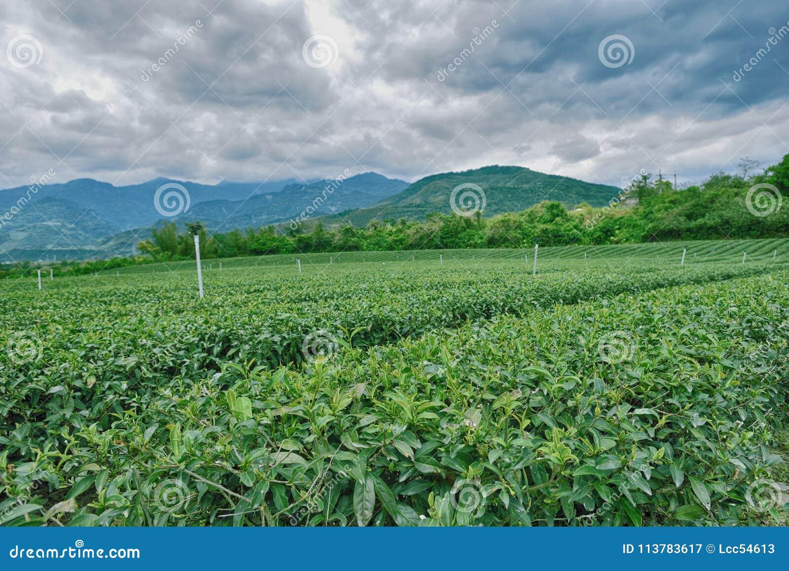 Trädgårds- grön tea