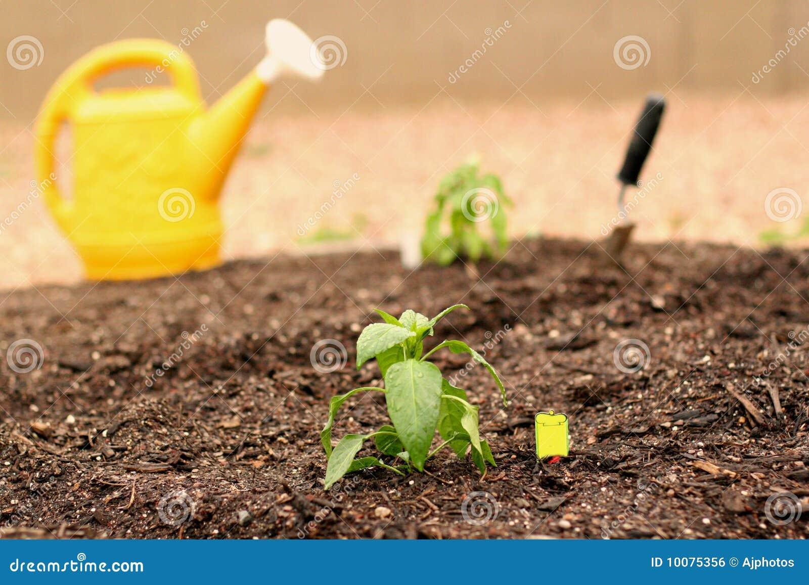 Trädgårds- grönsak