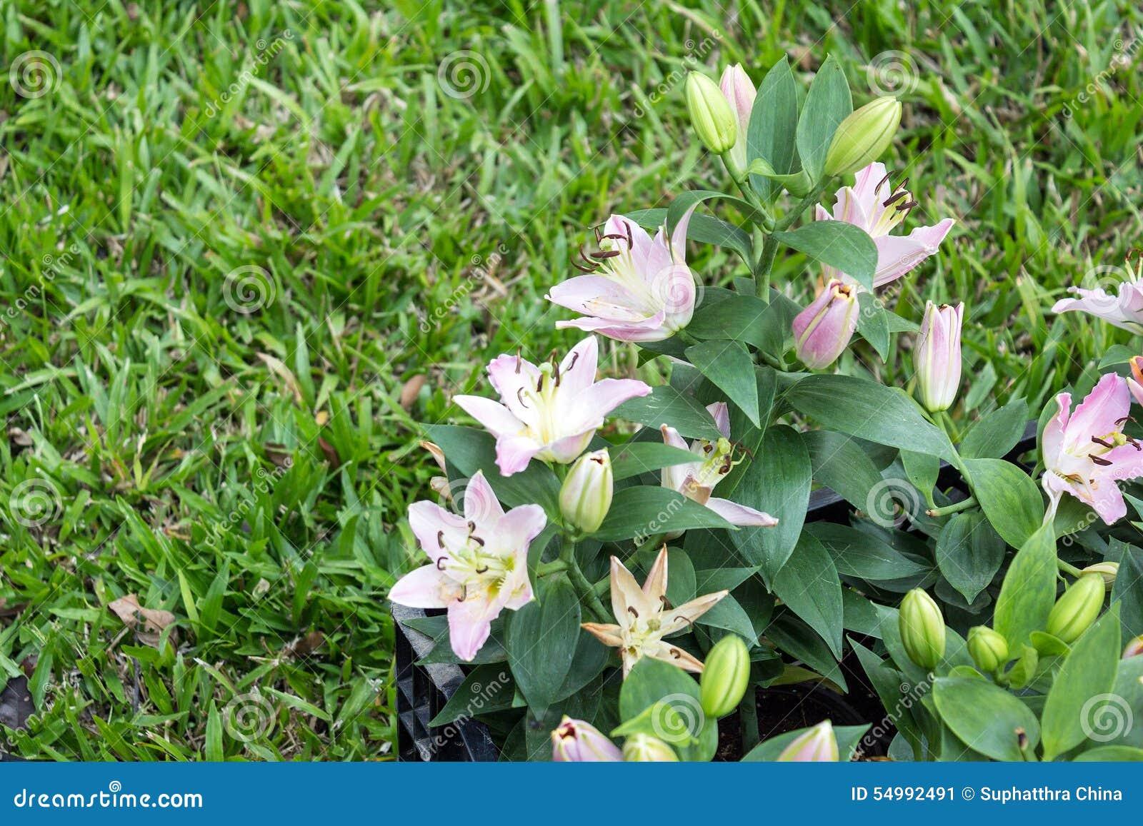 Trädgårds- liljar