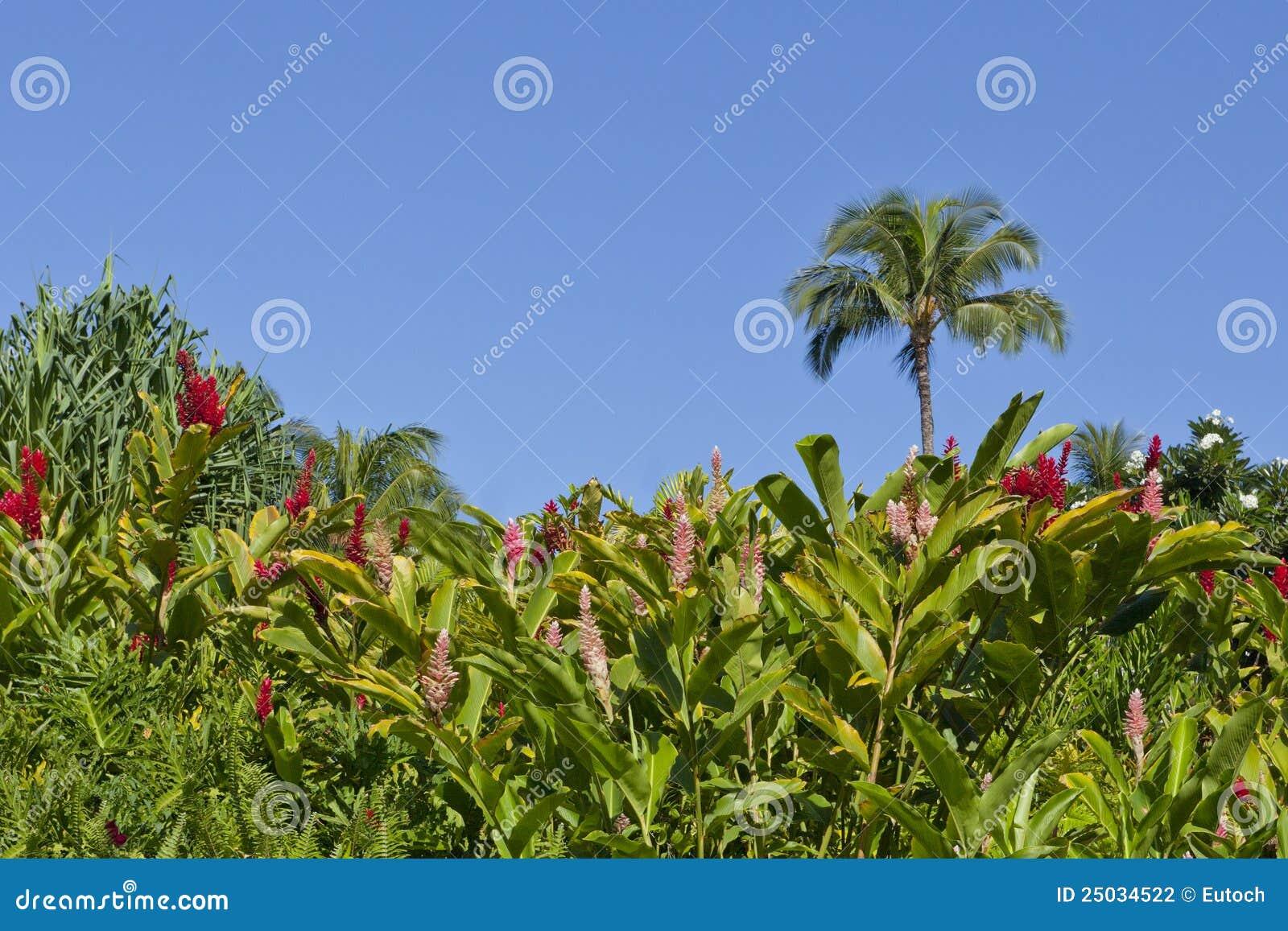 Trädgårds- ljust rödbrun hawaiibo