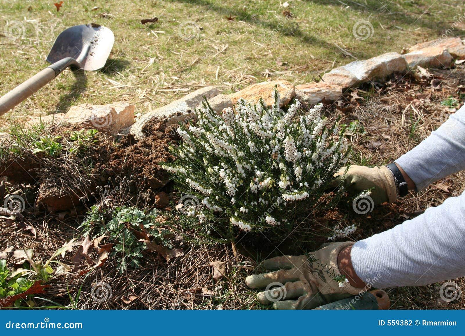 Trädgårds- plantera