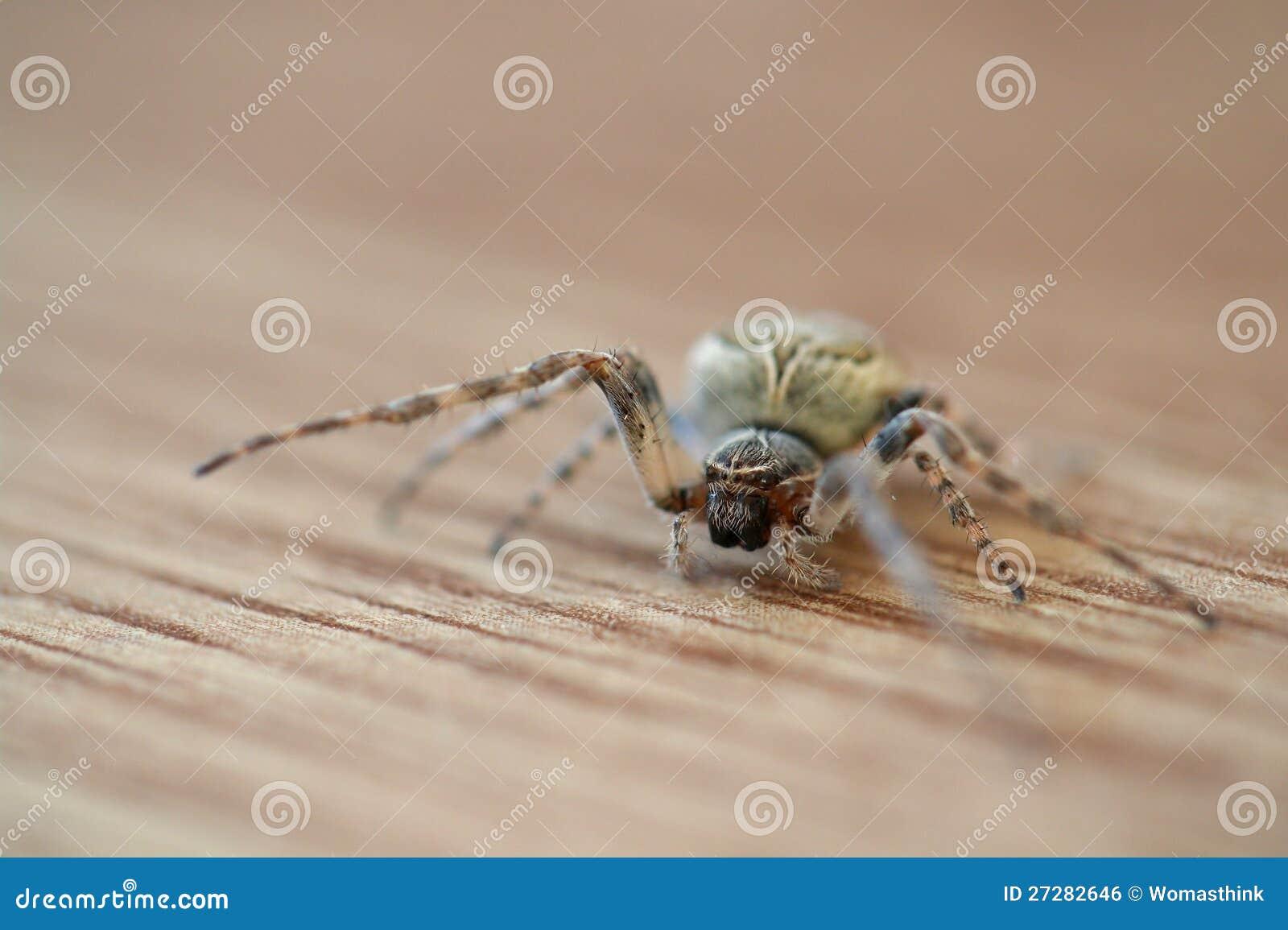 Trädgårds- spindel för European på trägolv