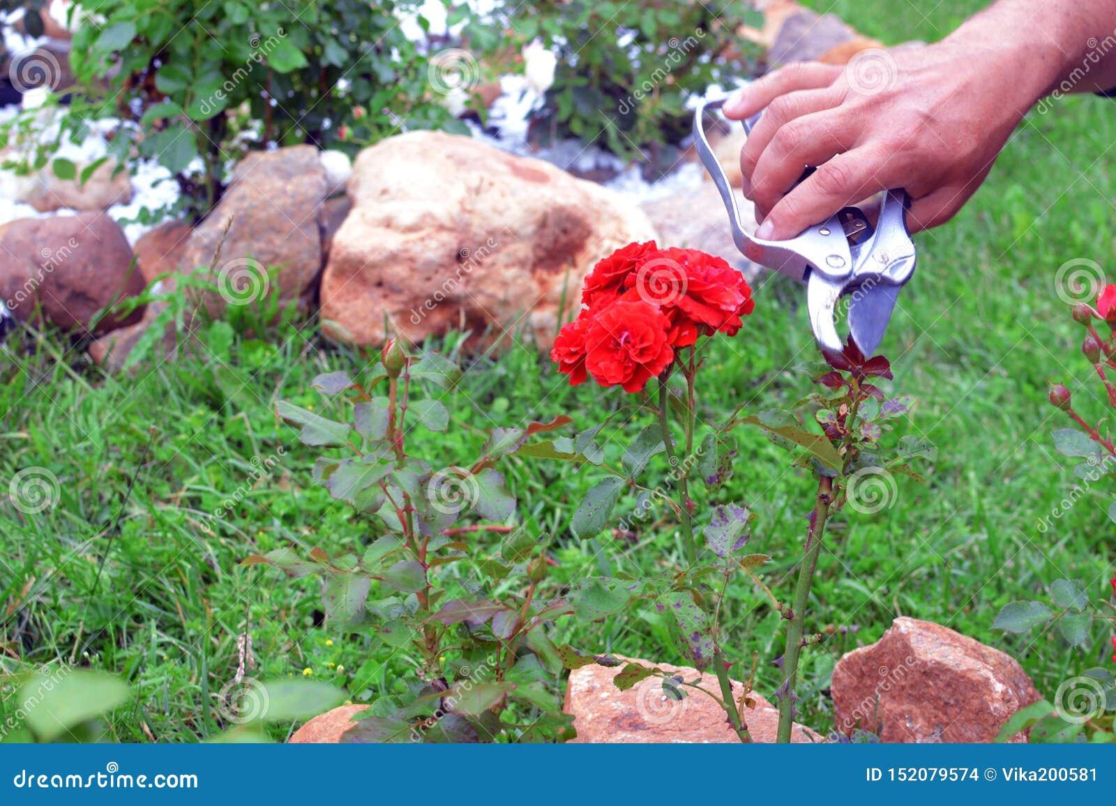 Trädgårdsmästaren sköter rosa buskar i en trädgård