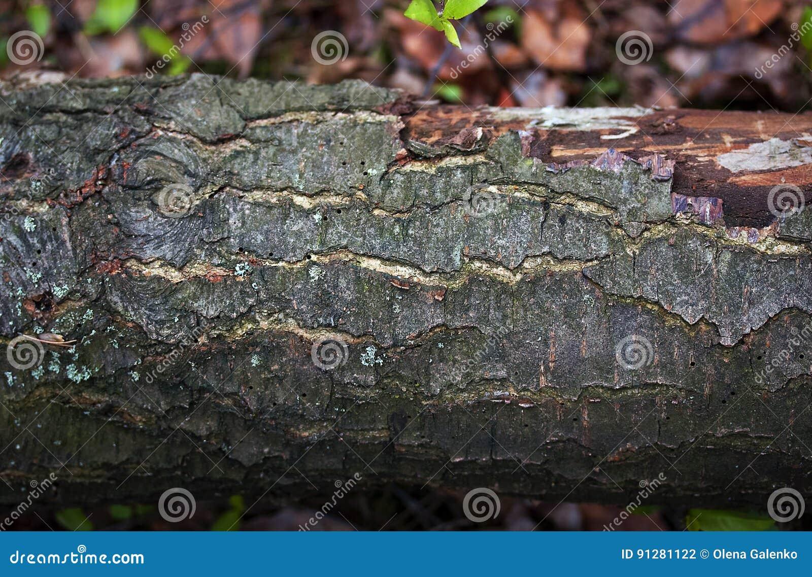 Trädjournal med skället i det wood slutet upp