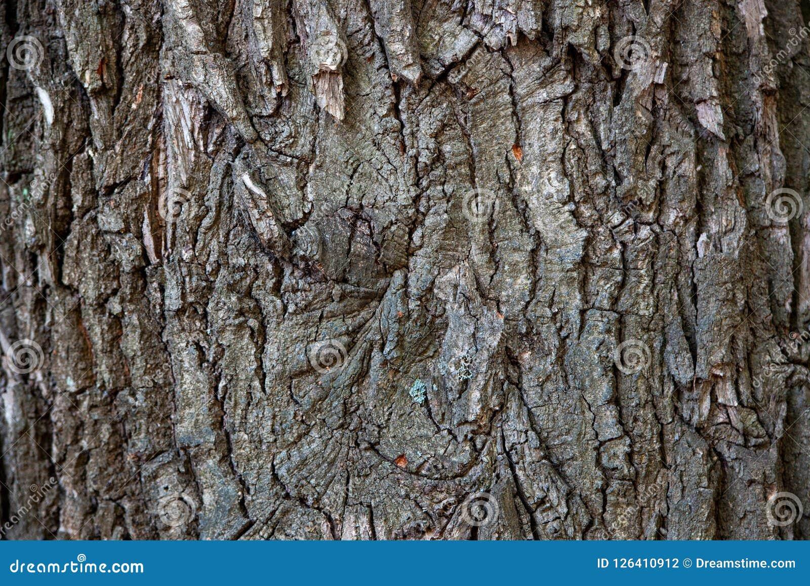Trädskäll, trädstam, gammalt träd, ek