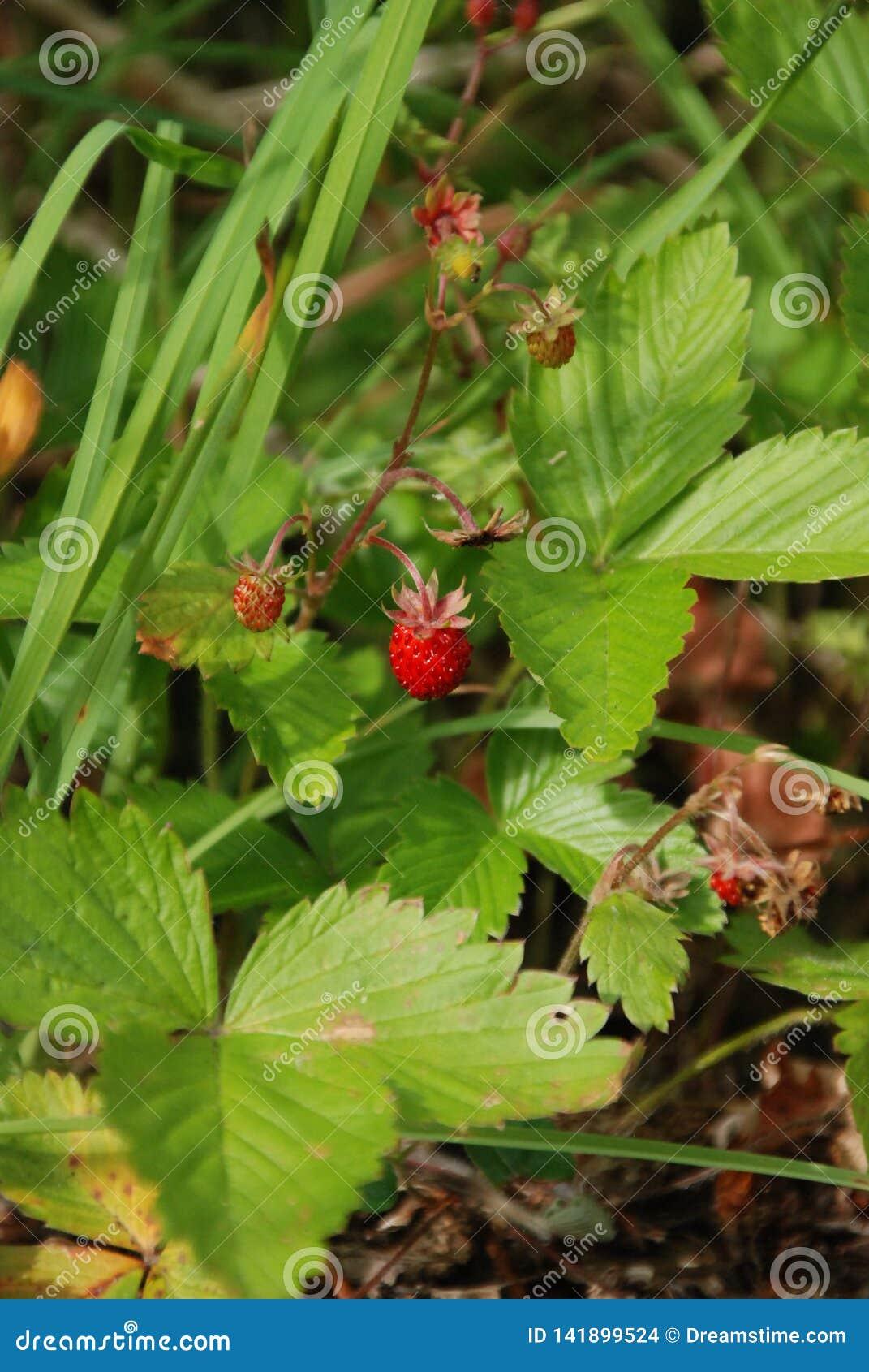 Träjordgubbe i den svarta skogen