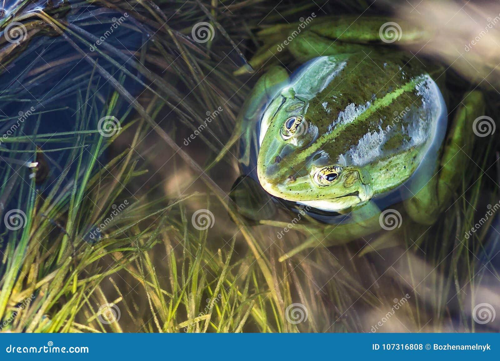 Träskgroda i dammet mycket av ogräs Pelophylax för grön groda esculentus sammanträde i vatten