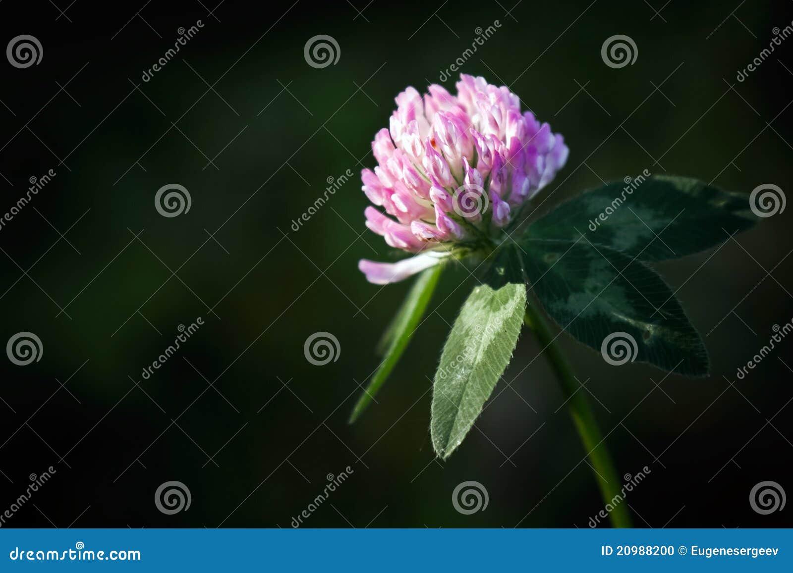 Trefle Rouge De Fleur Photo Stock Image Du Pois Exterieur 20988200