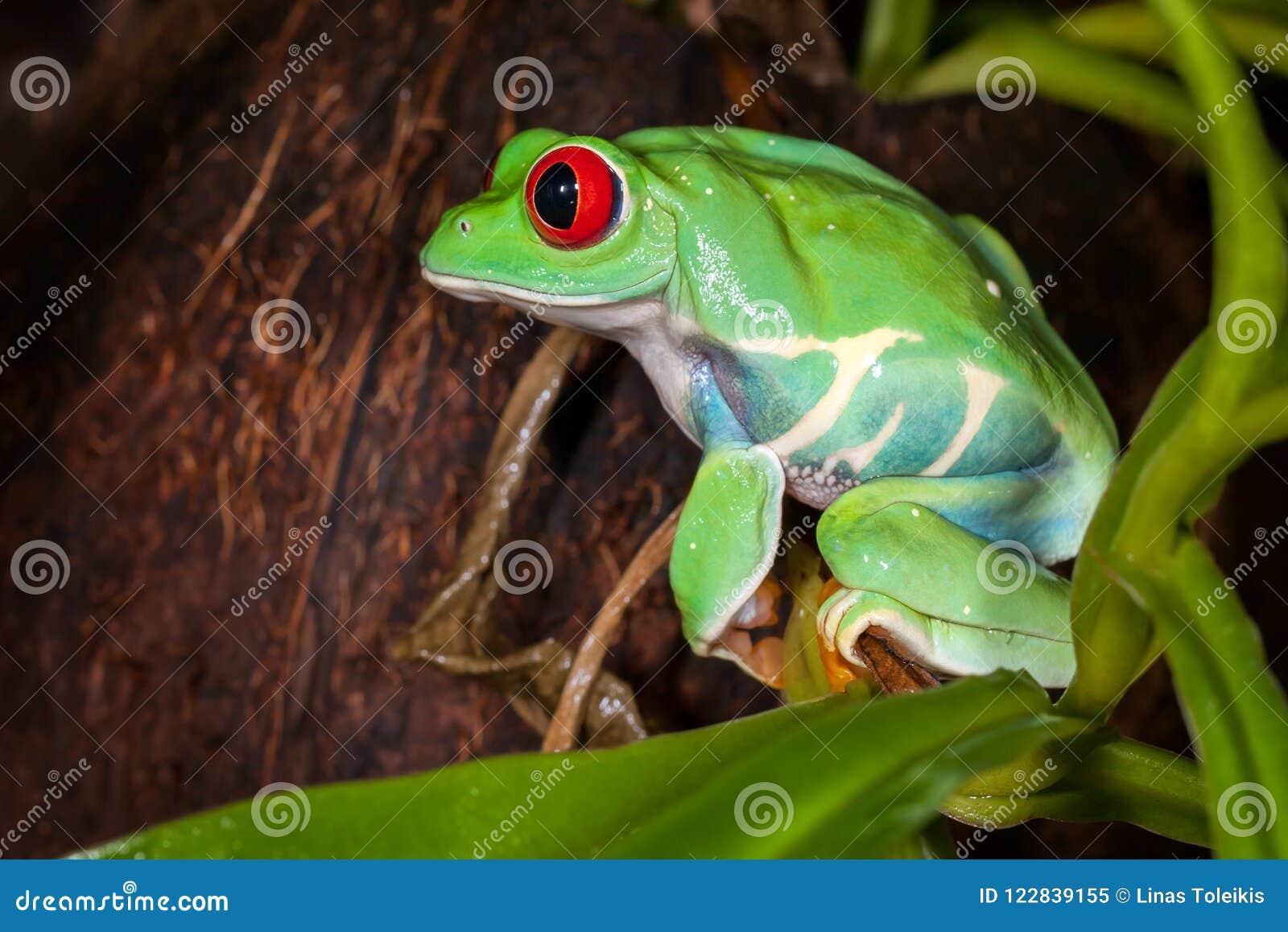 Très fortement grenouille d arbre aux yeux rouges