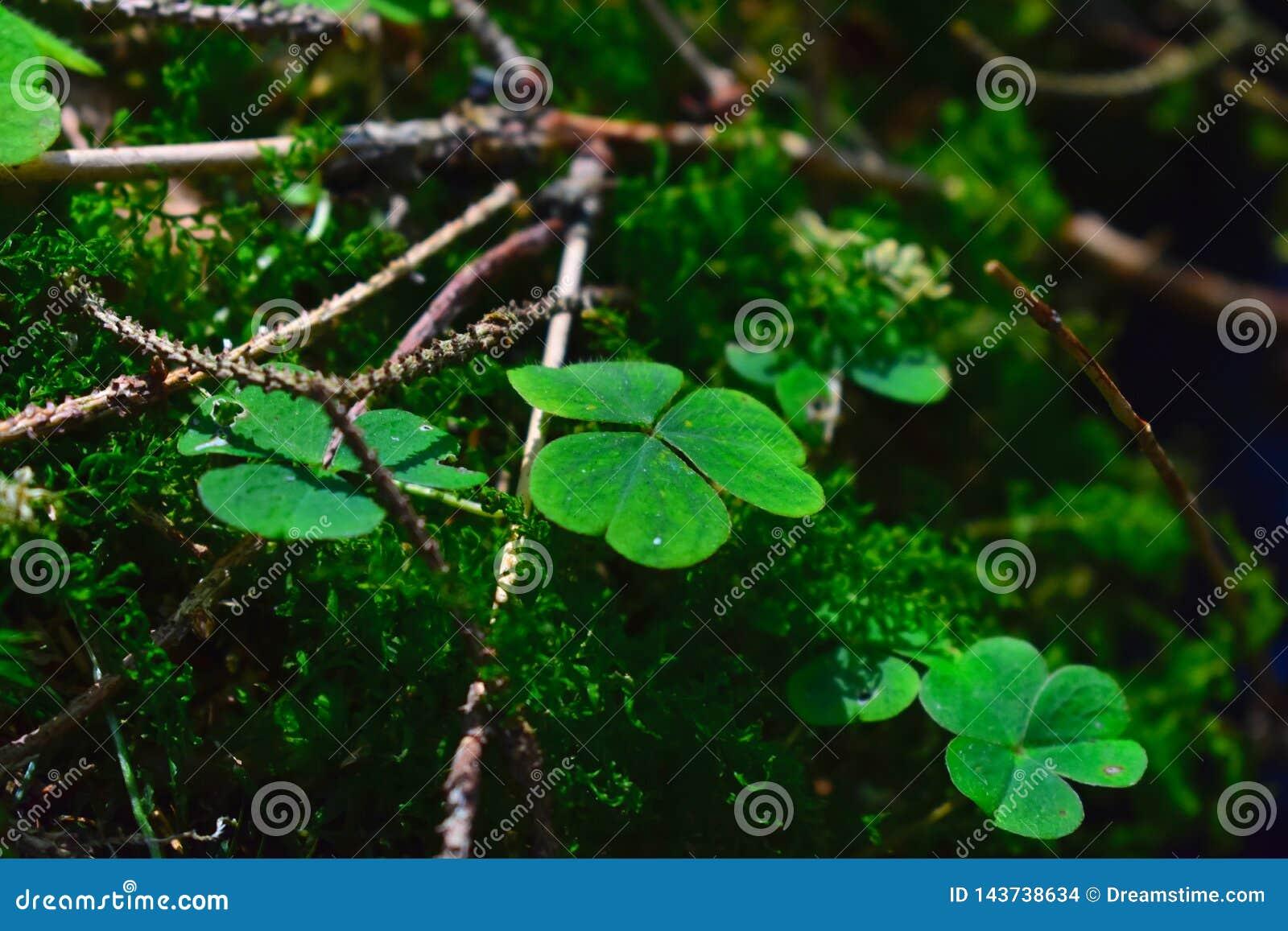 Trébol en un bosque