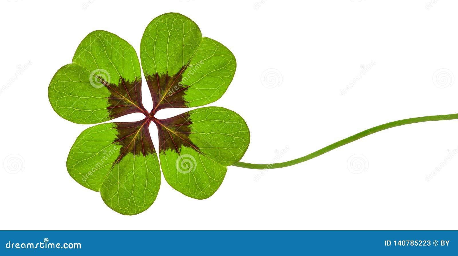 Trébol verde con cuatro hojas