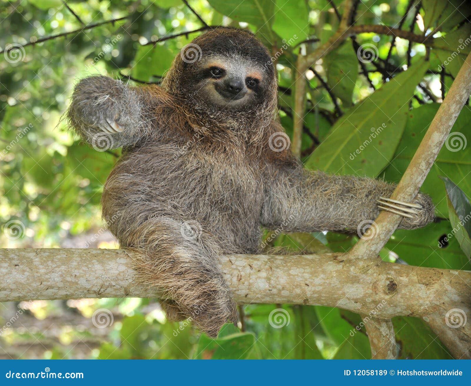 Três brincalhão toe a preguiça que senta-se na árvore, Costa-Rica