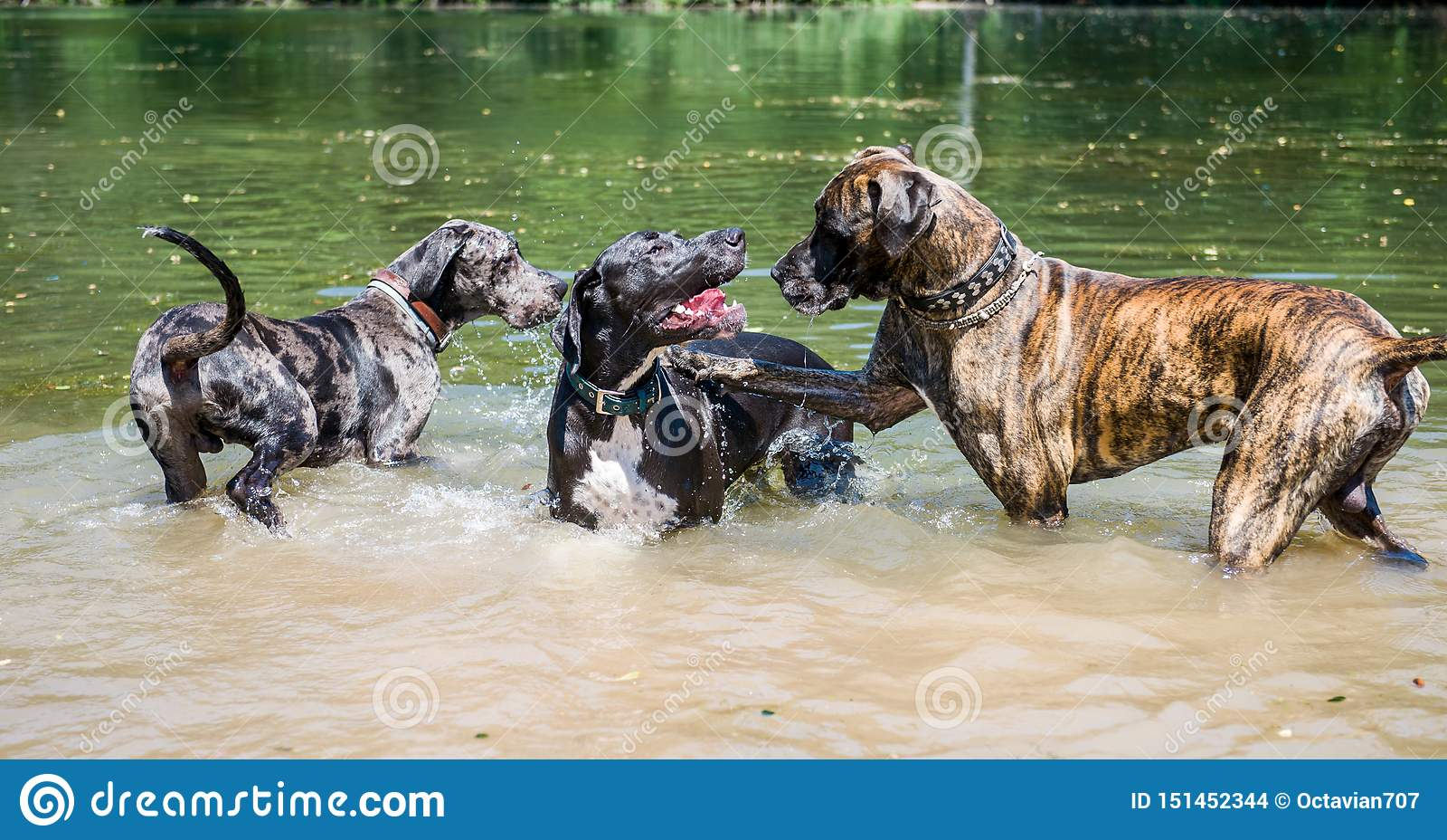 Três cães alemães mais enormes do mastim que jogam na água um com o otro