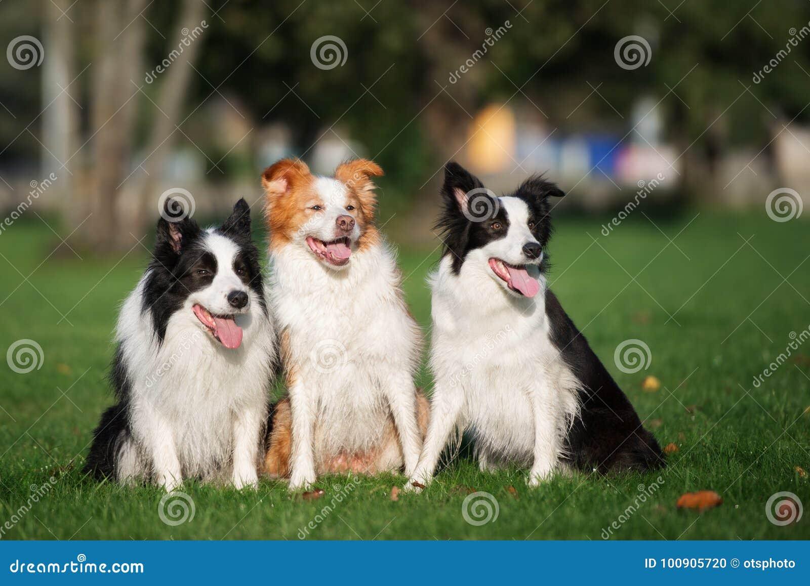 Três cães de border collie que sentam-se fora