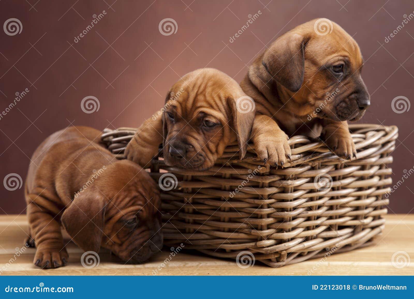 Três cães felizes que sentam-se no assoalho de madeira