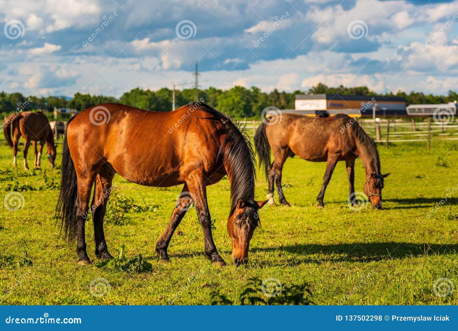 Três cavalos bonitos que pastam no verão ensolarado verde luxúria do ar livre do pasto