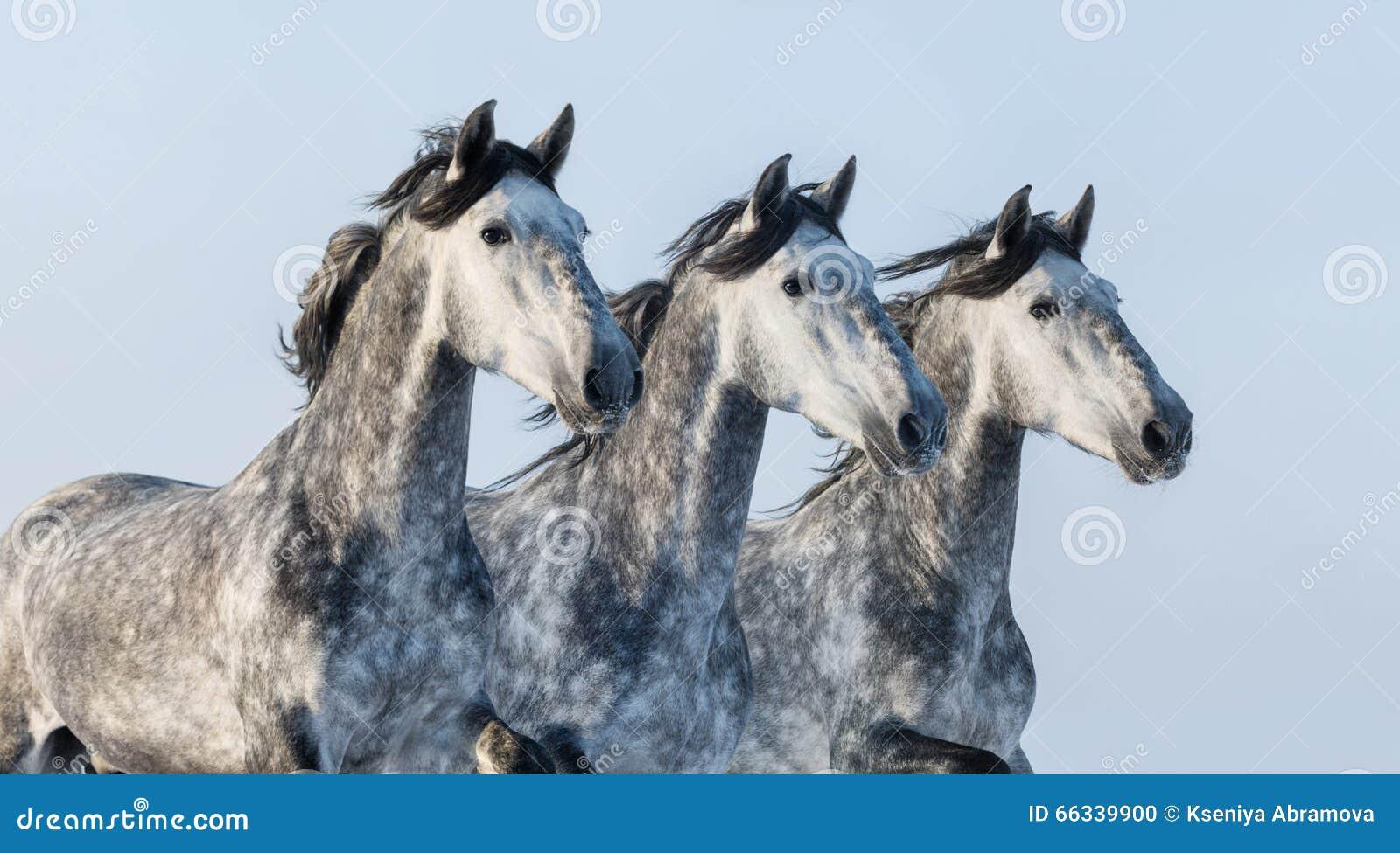 Três cavalos cinzentos - retrato no movimento