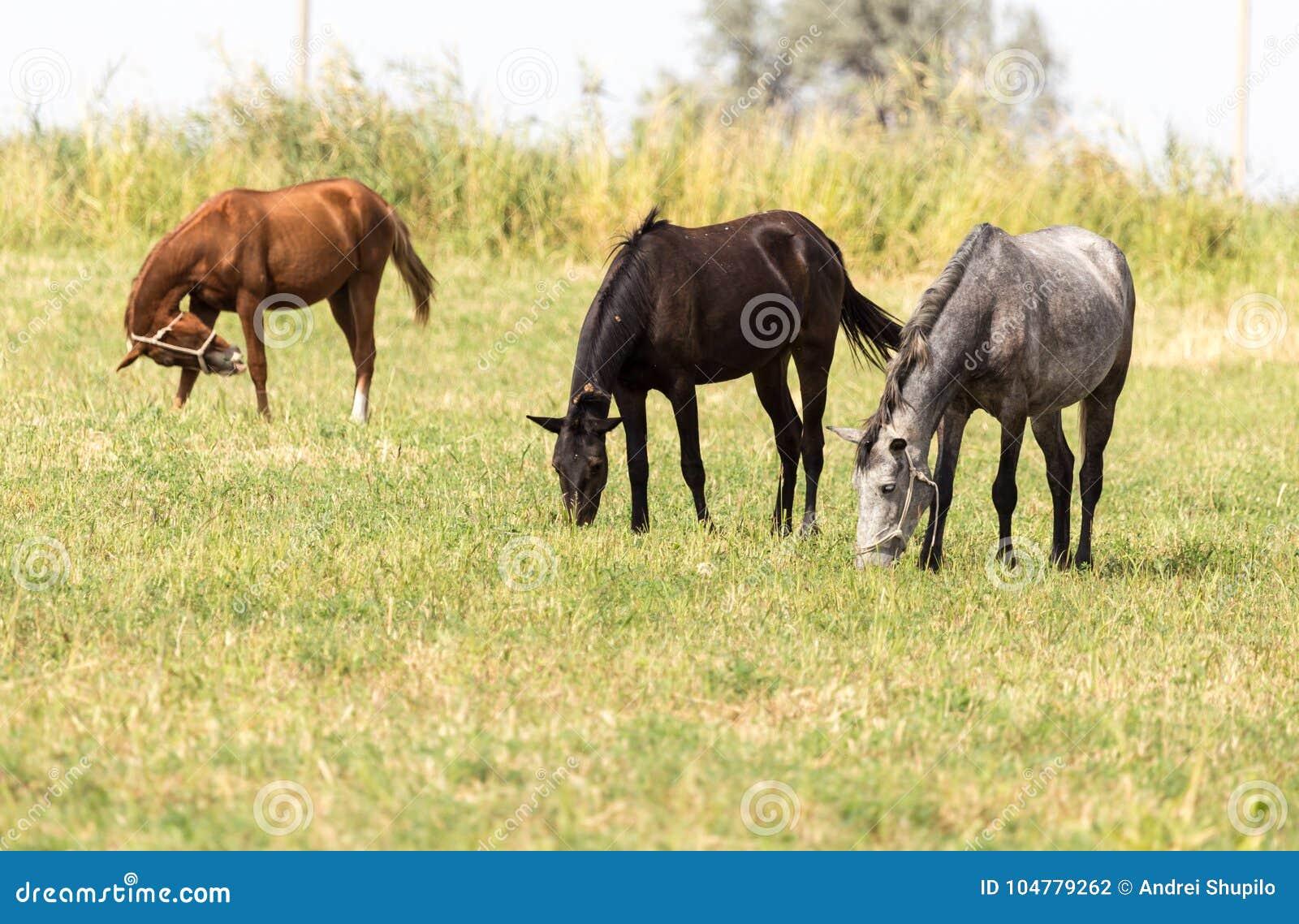 Três cavalos em um pasto na natureza