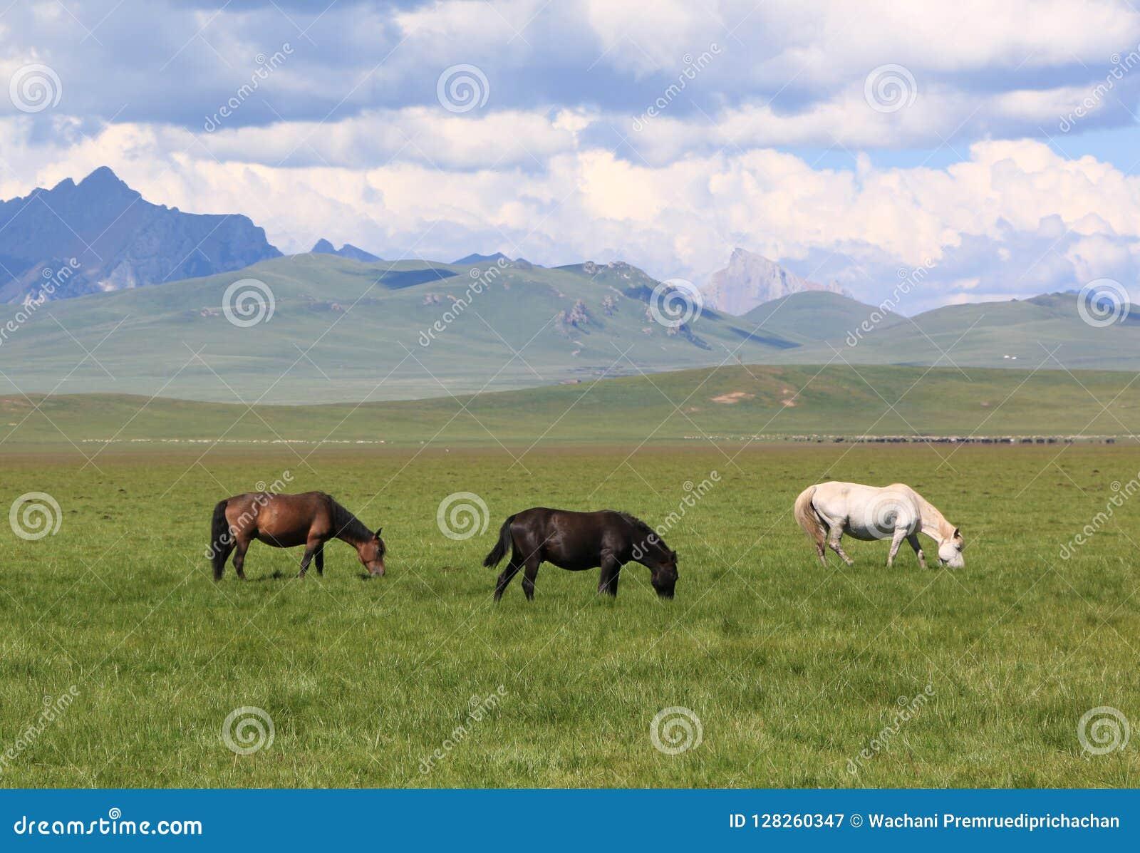Três cavalos que comem a grama no campo verde do pasto
