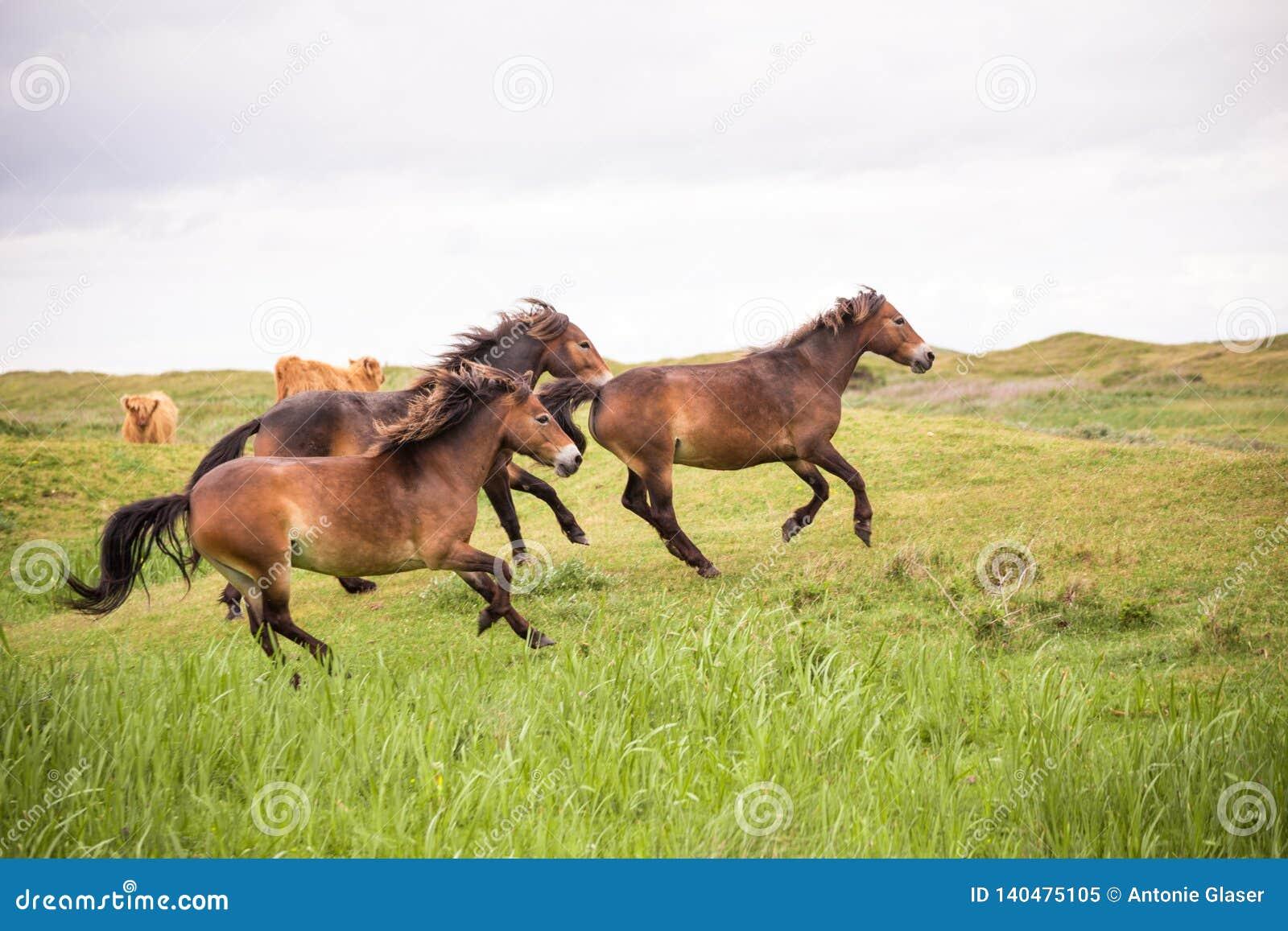 Três cavalos selvagens que correm na ilha holandesa do texel