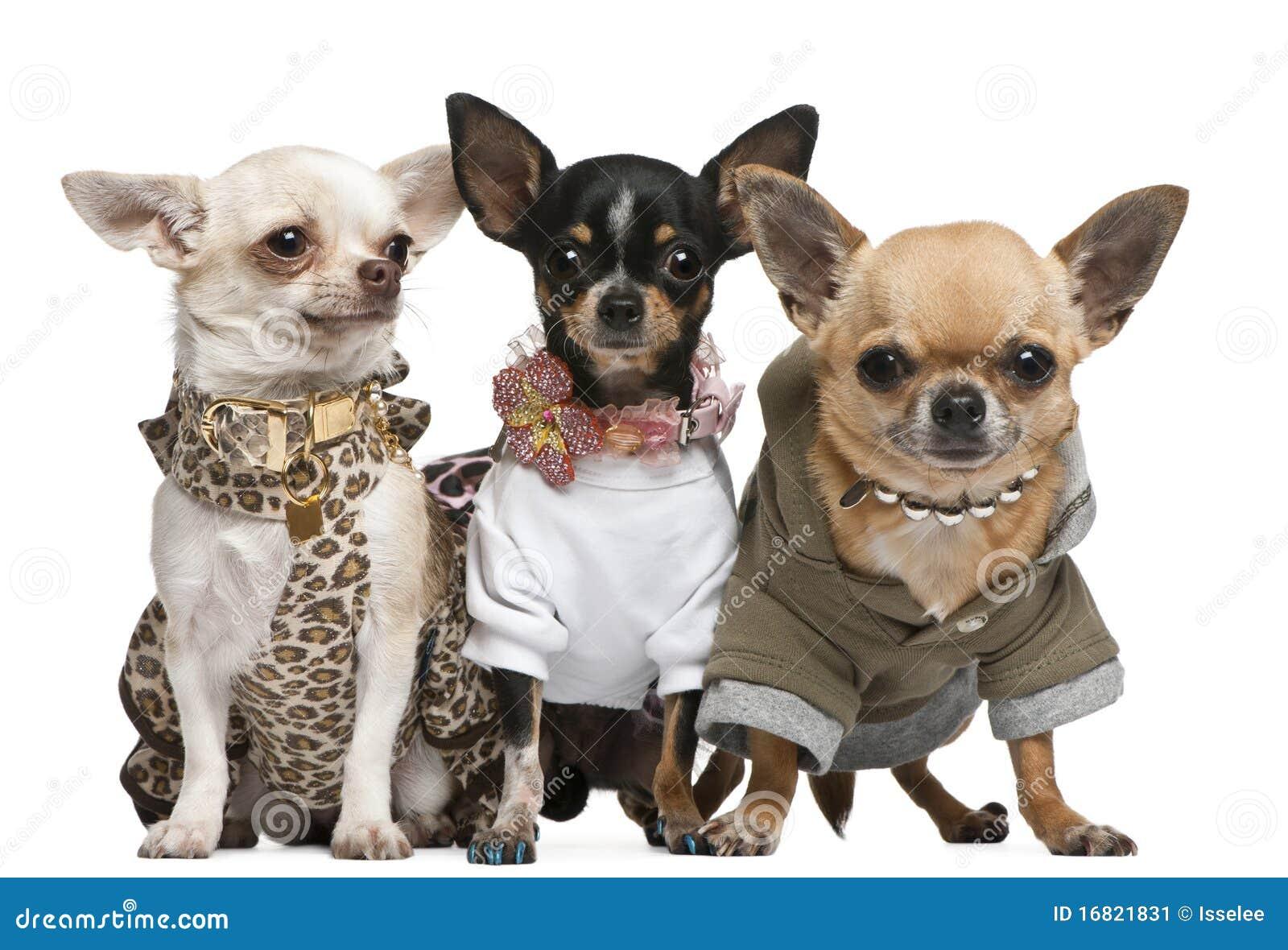 Três chihuahuas vestidas acima