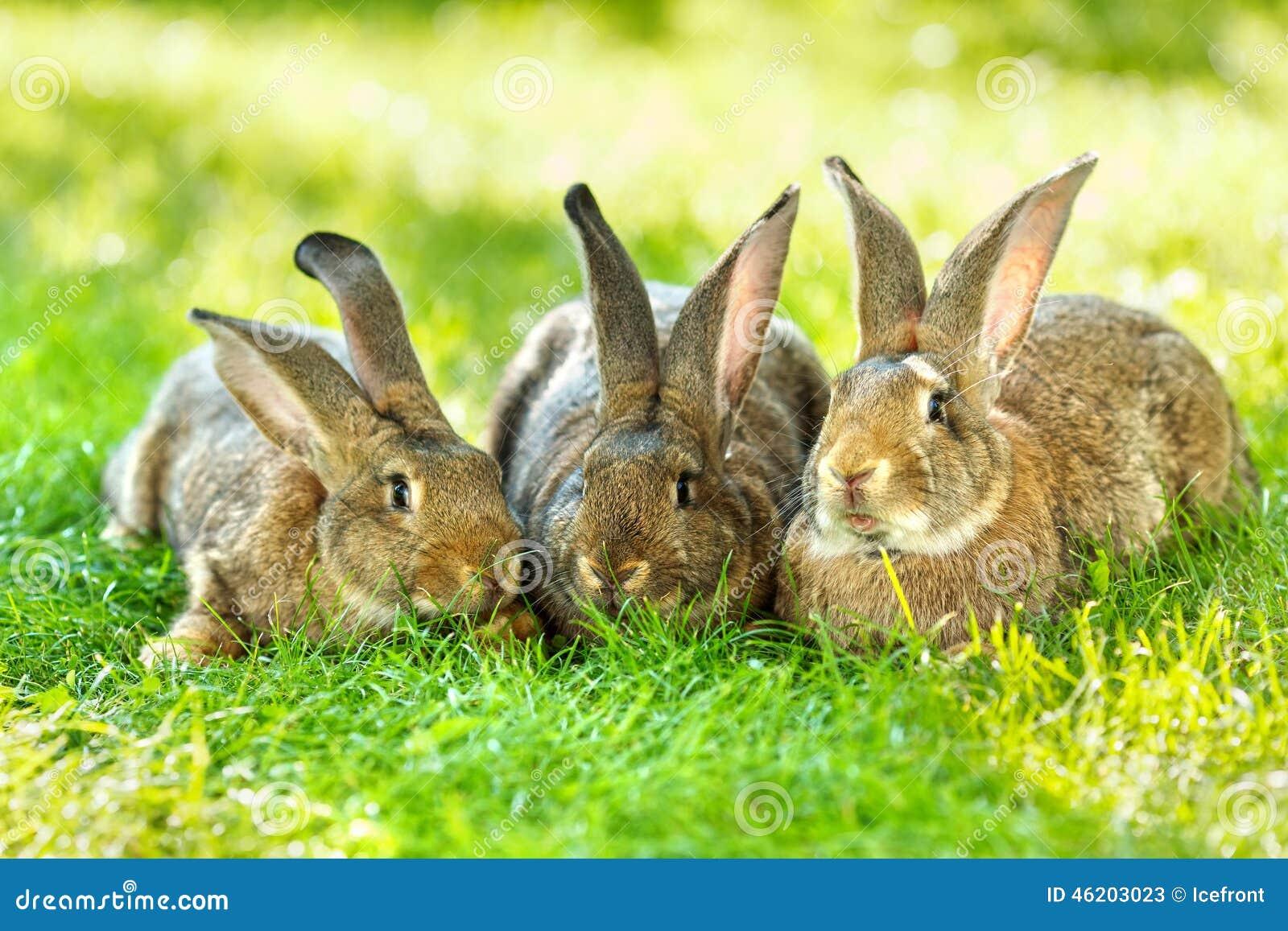 Três coelhos de Brown