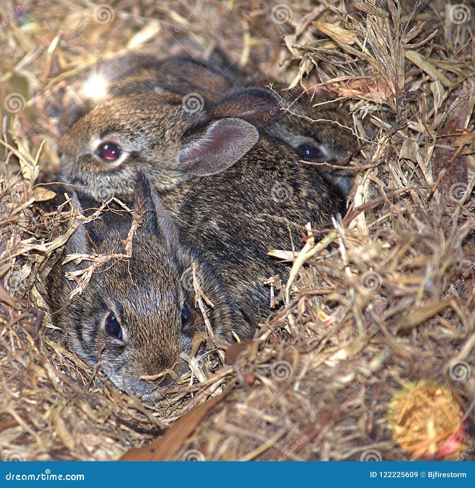Três coelhos selvagens do bebê que Teaming acima para ficar seguro