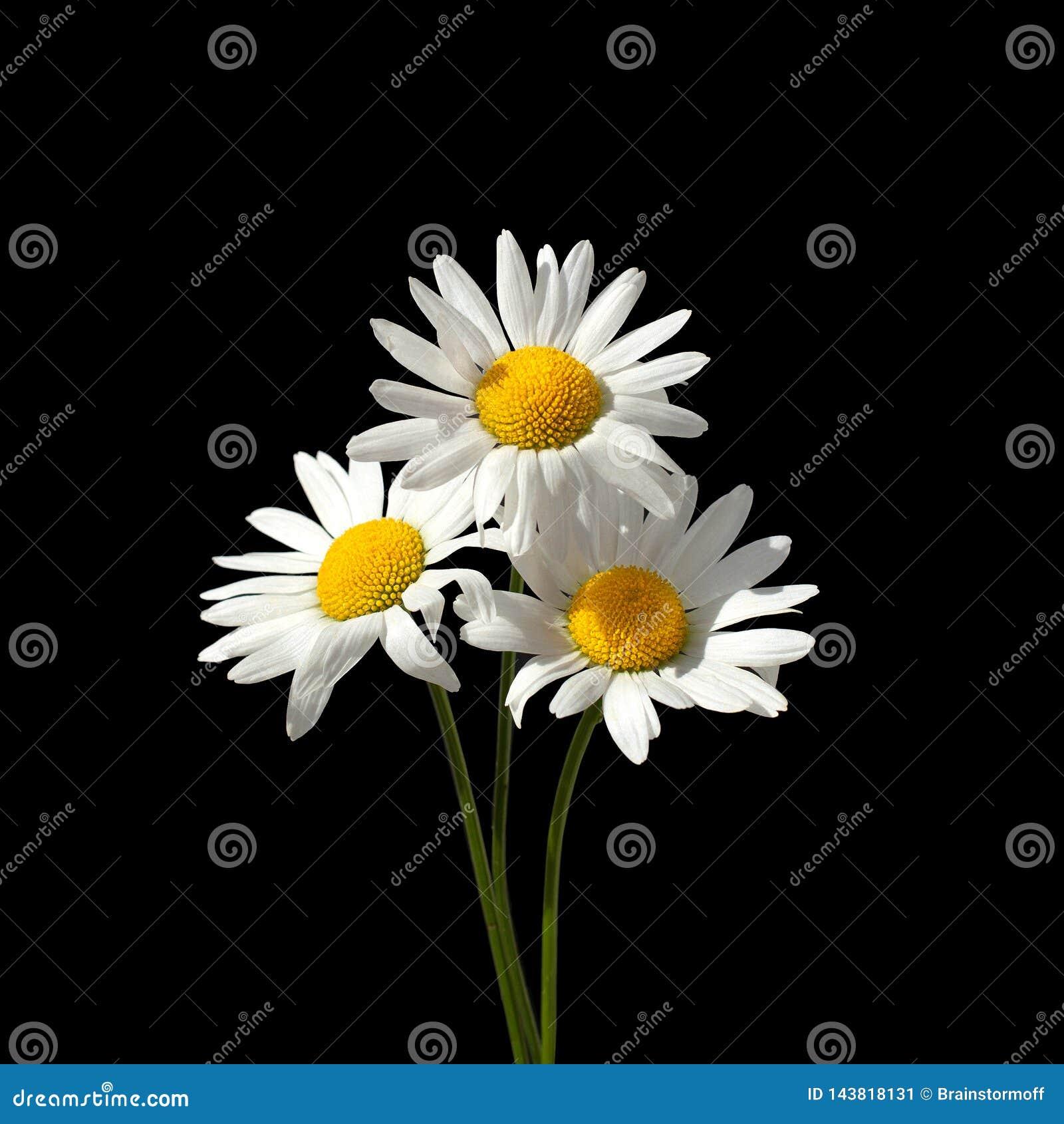 Três flores brancas da camomila em um close up preto do fundo isolado no quadrado