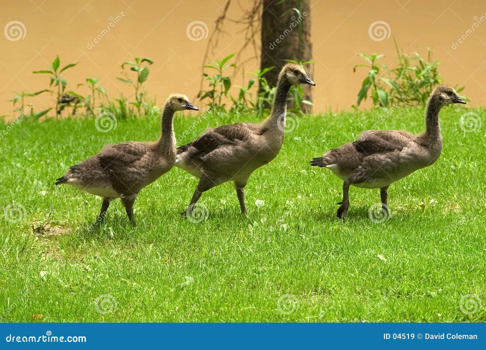 Três gansos adolescentes
