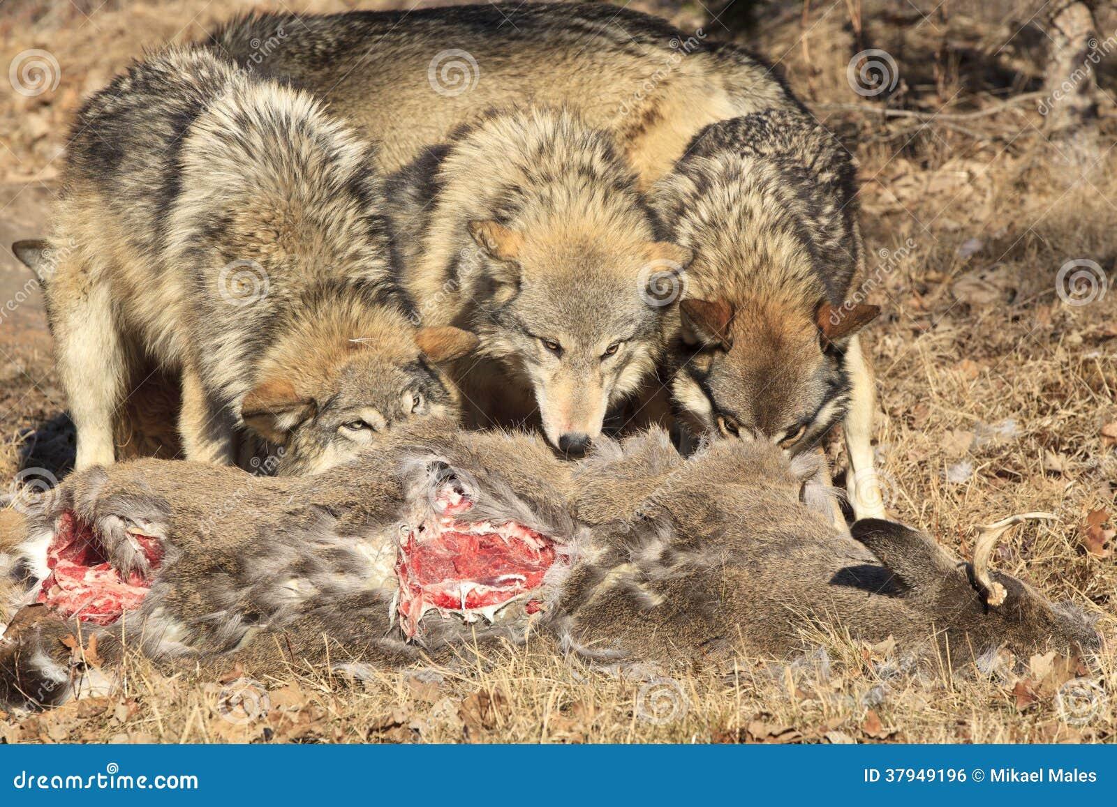 Três lobos que alimentam na carcaça dos cervos