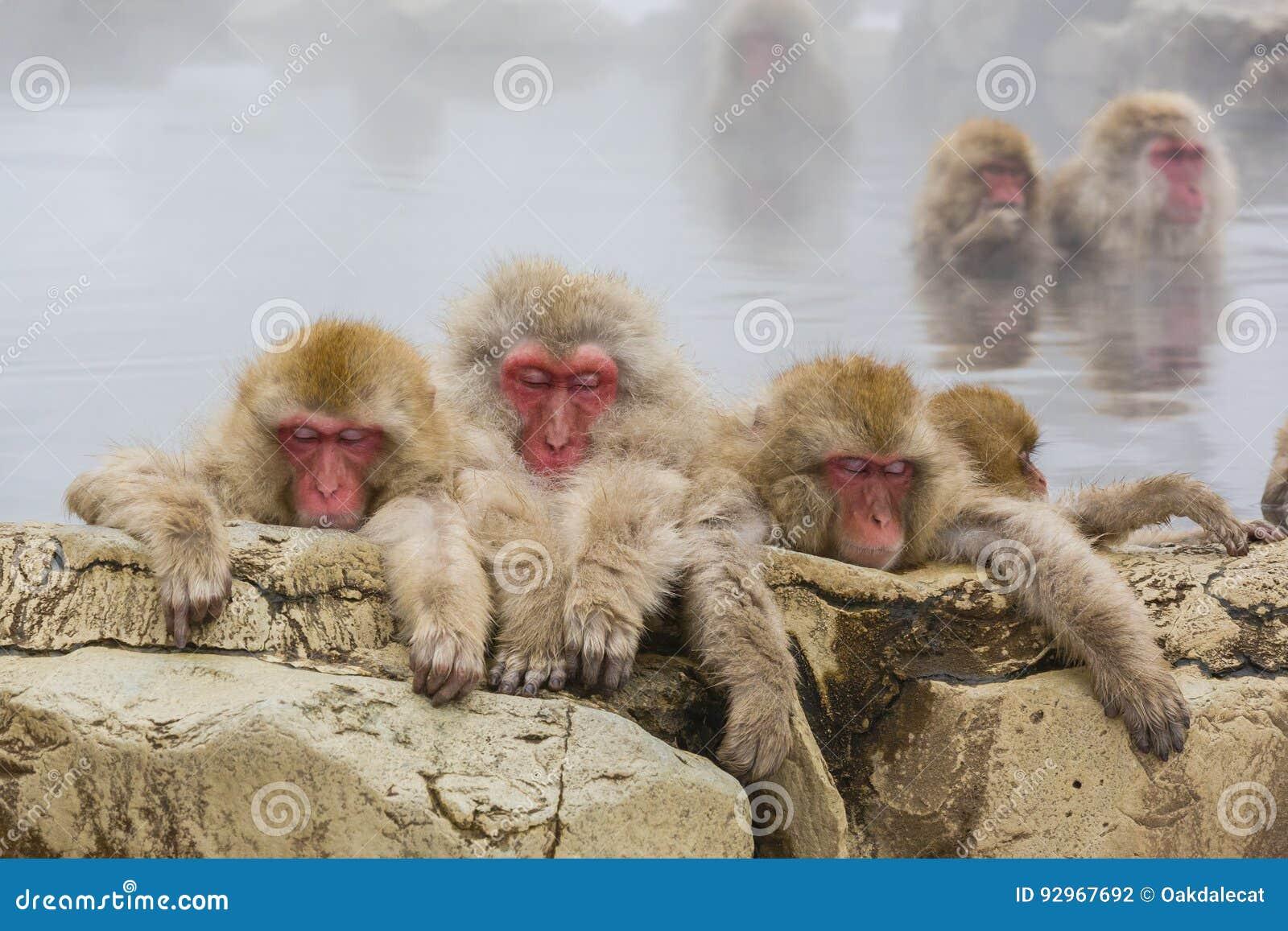 Três macacos queimados da neve no vapor