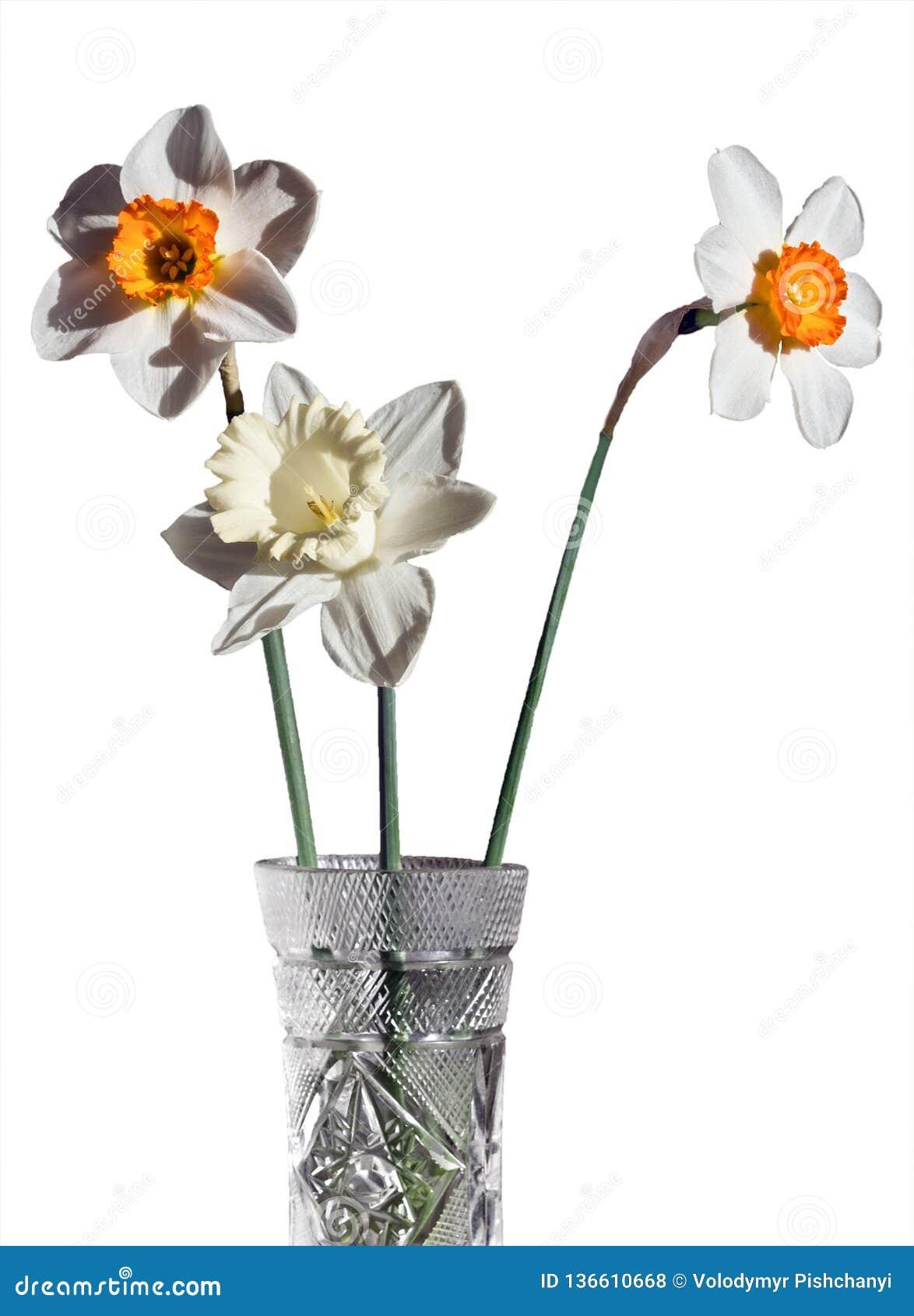 Três narcisos amarelos diferentes em um ramalhete em um vaso de cristal em um fundo branco