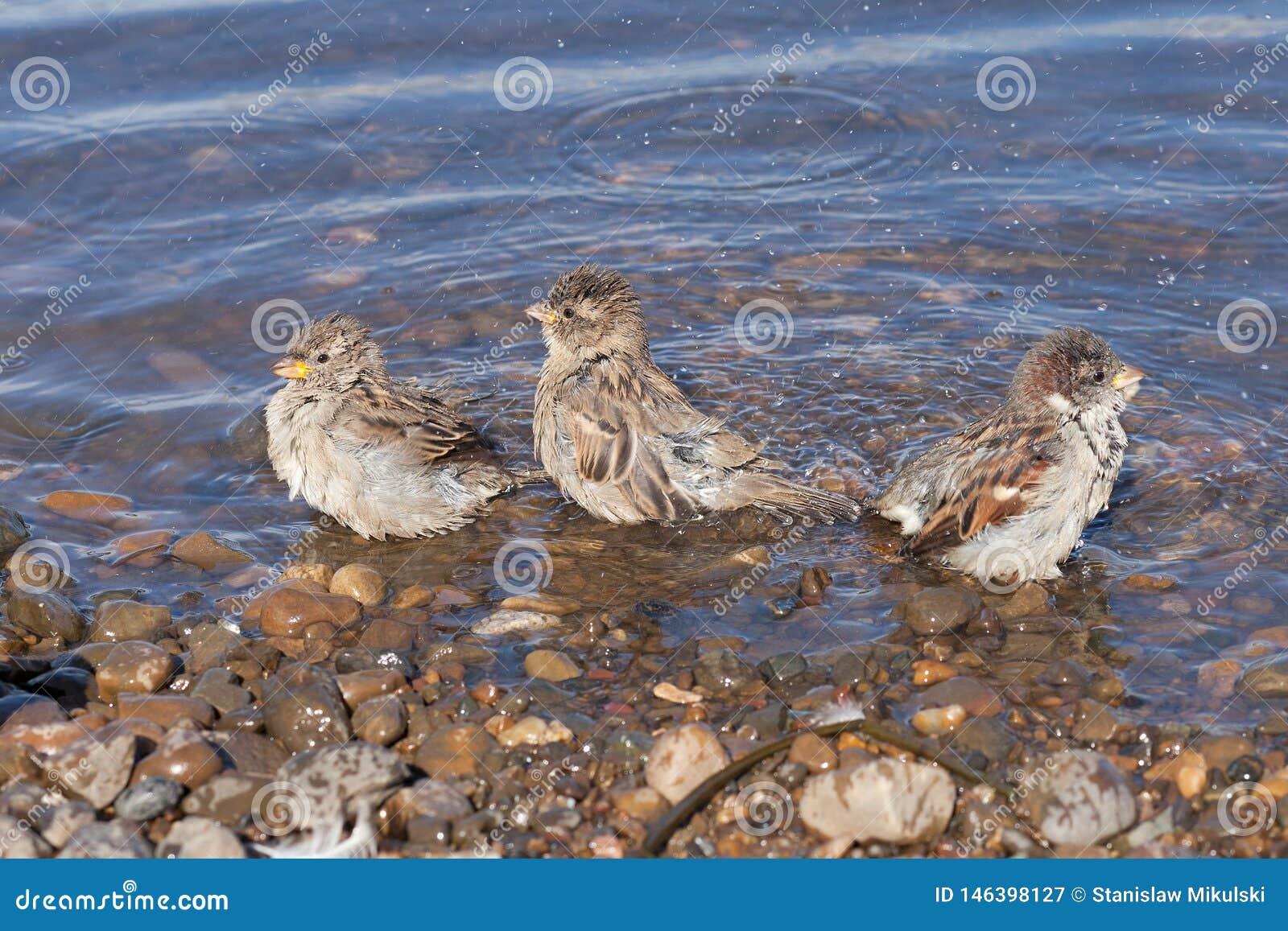 Três pardais banham-se no rio