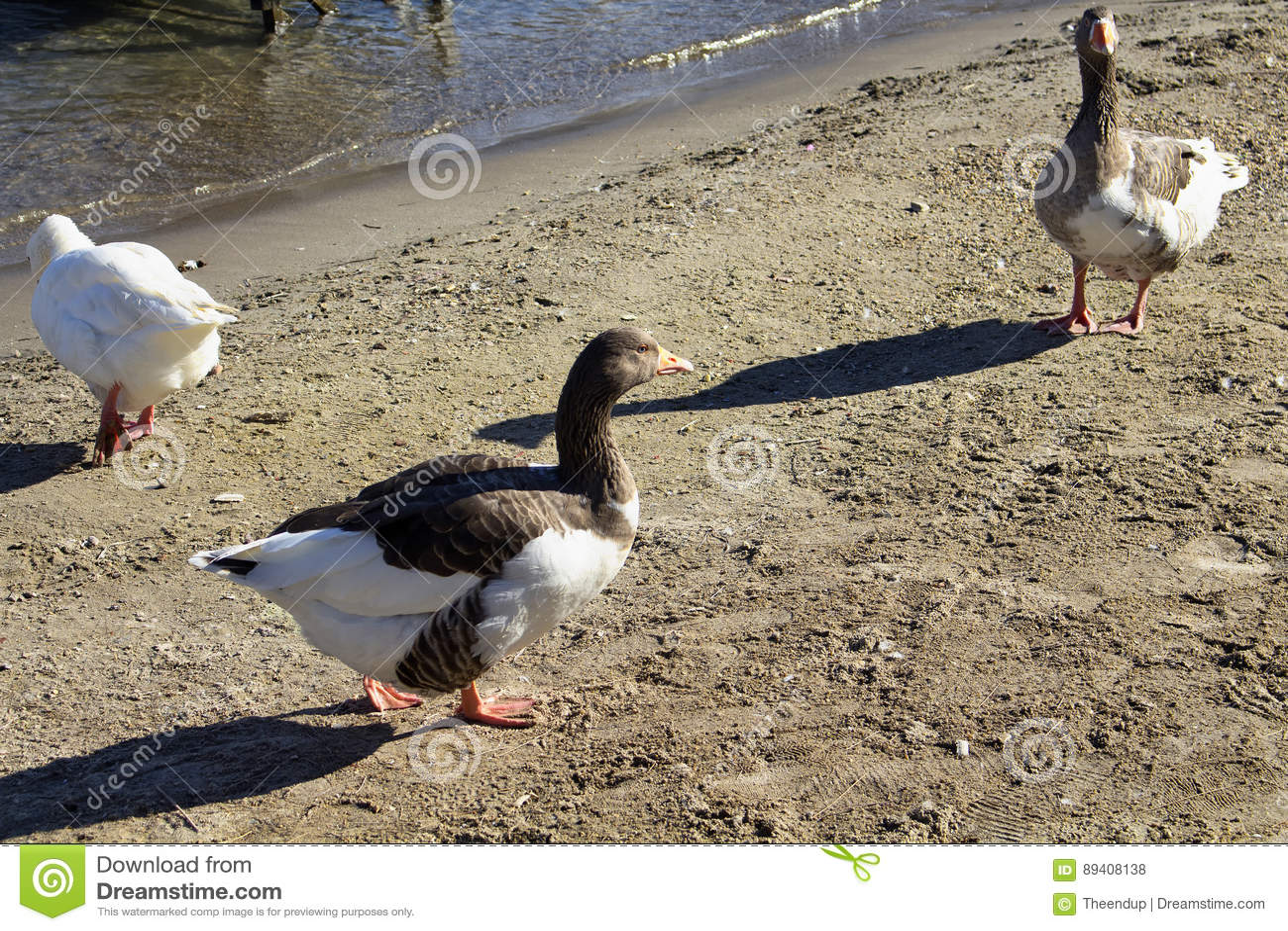 Três patos no beira-mar na cidade de Turkbuku