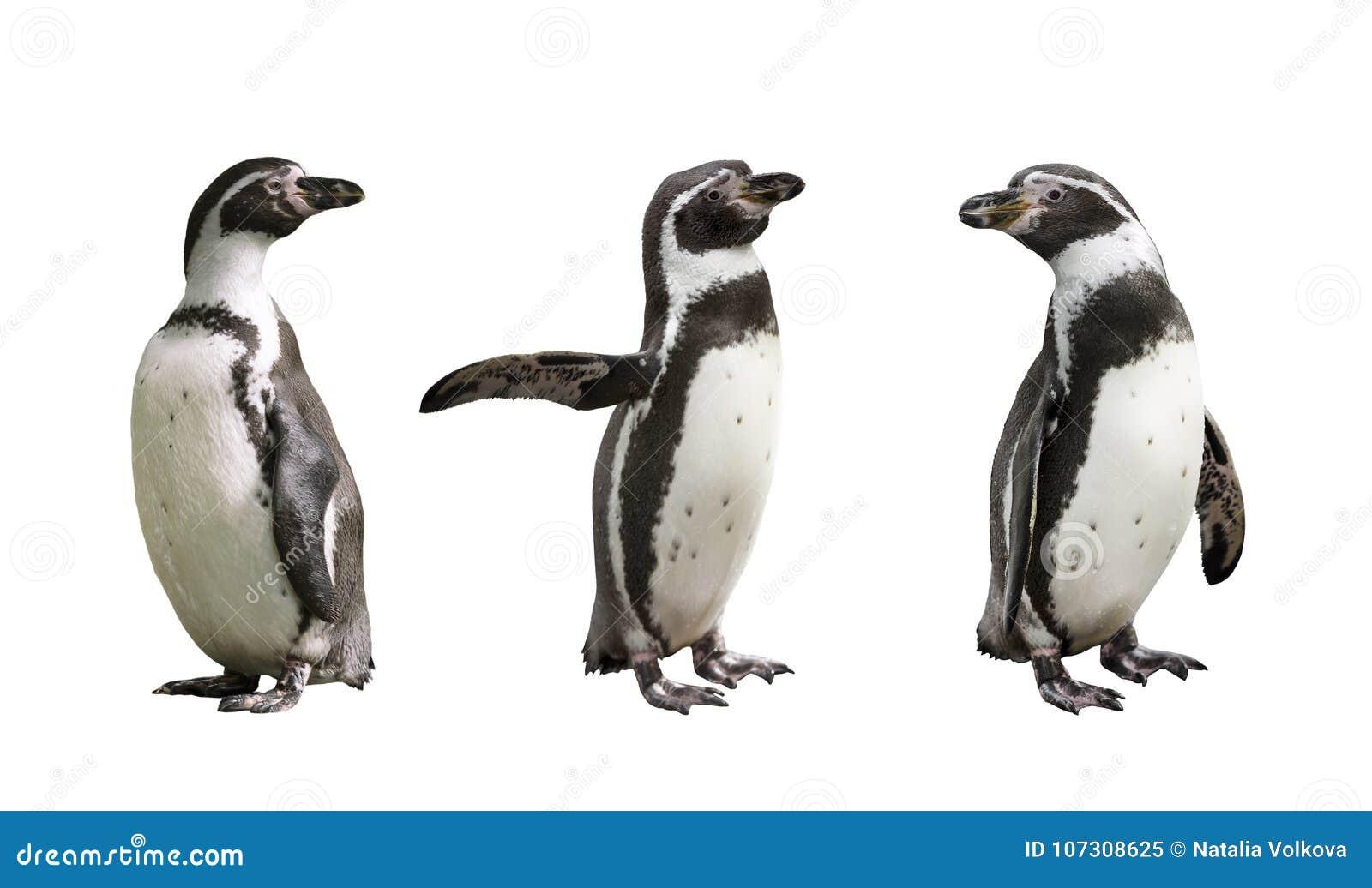 Três pinguins de Humboldt no fundo branco
