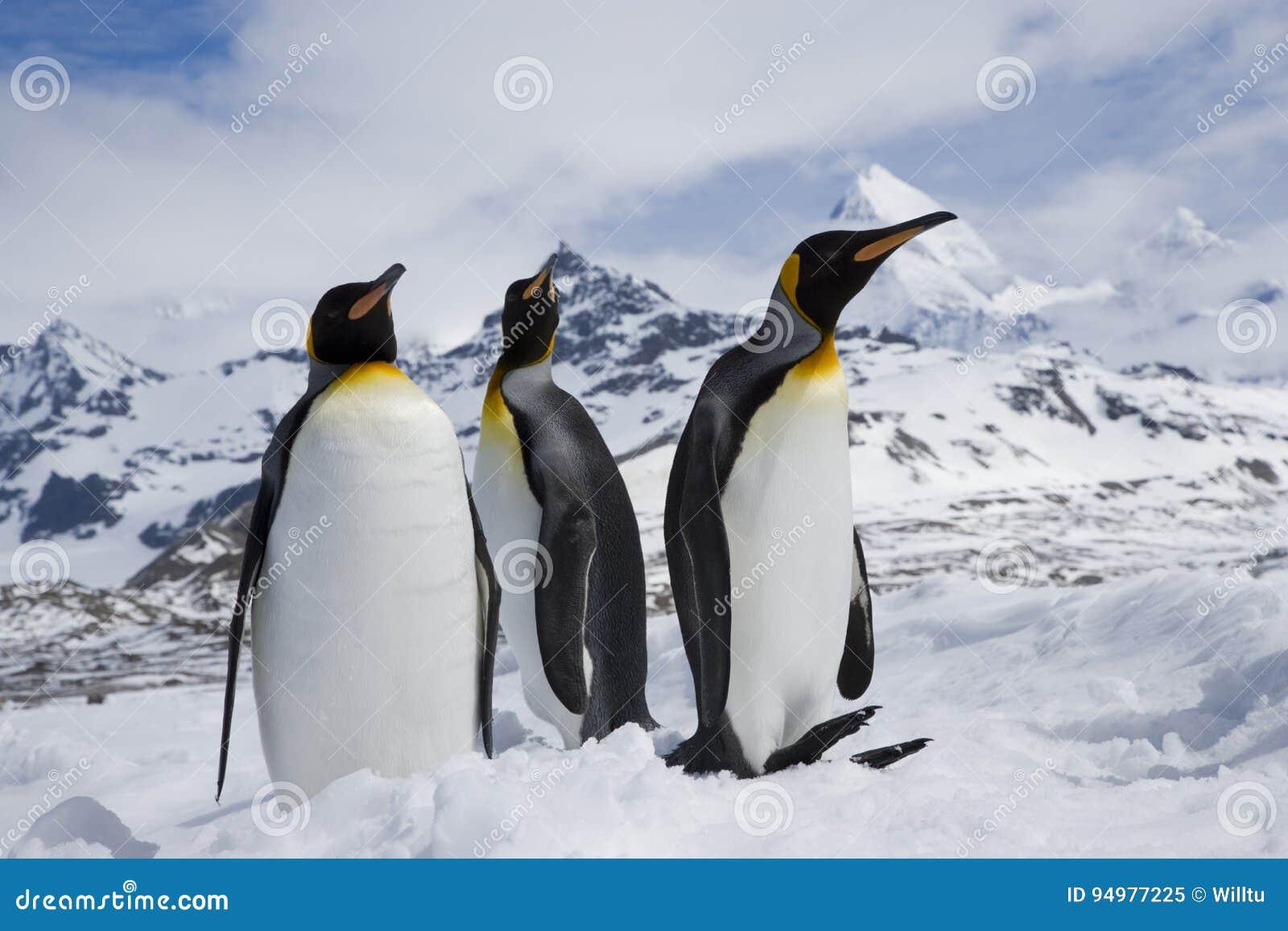 Três pinguins de rei na neve