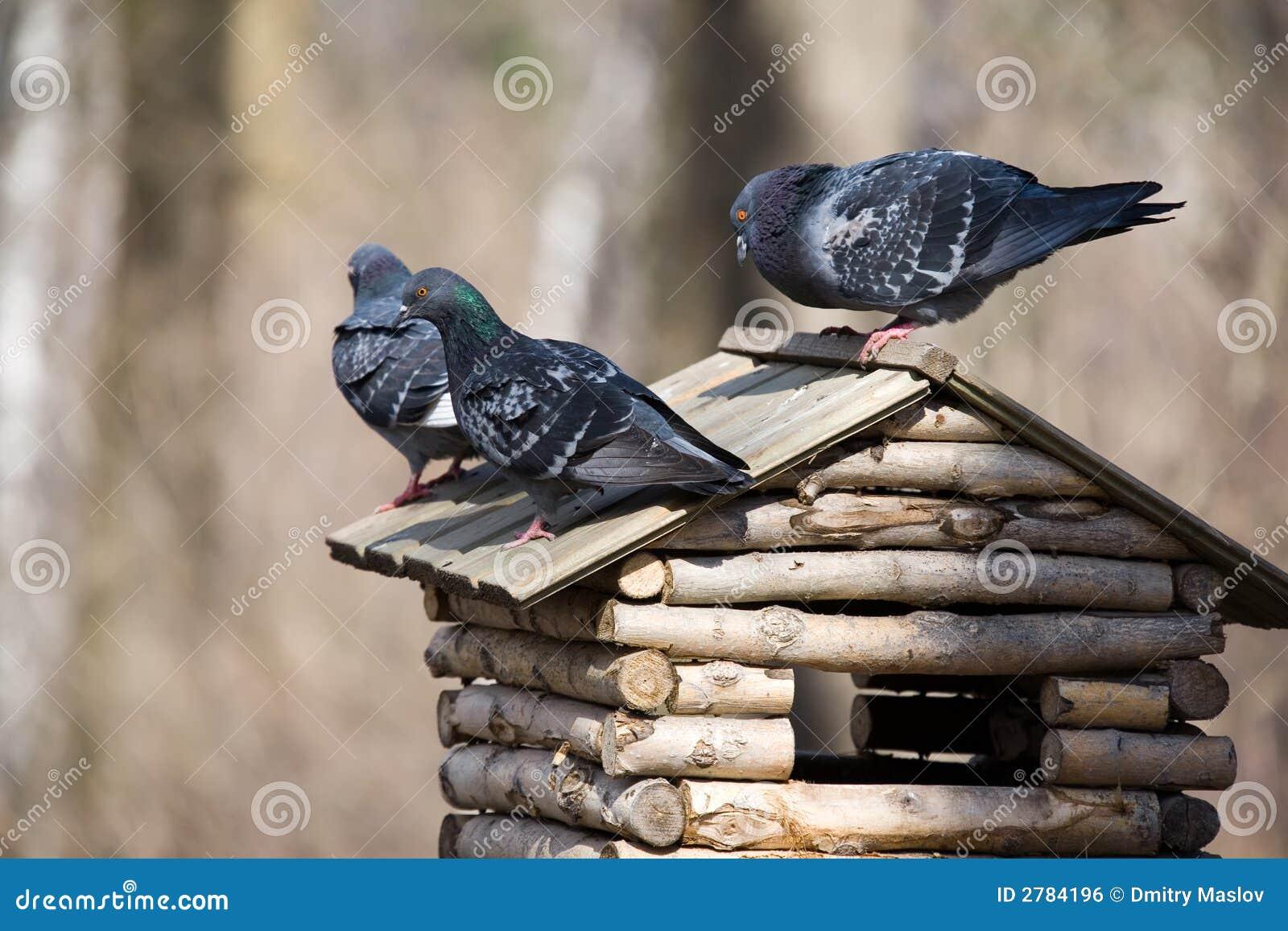 Três pombos
