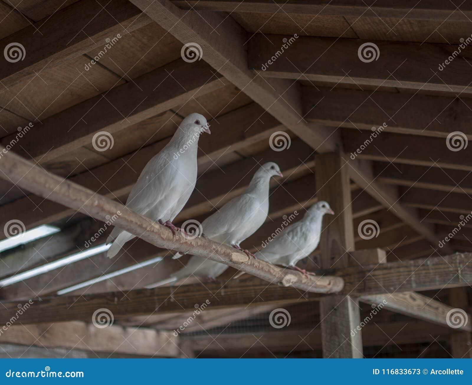 Três pombos brancos