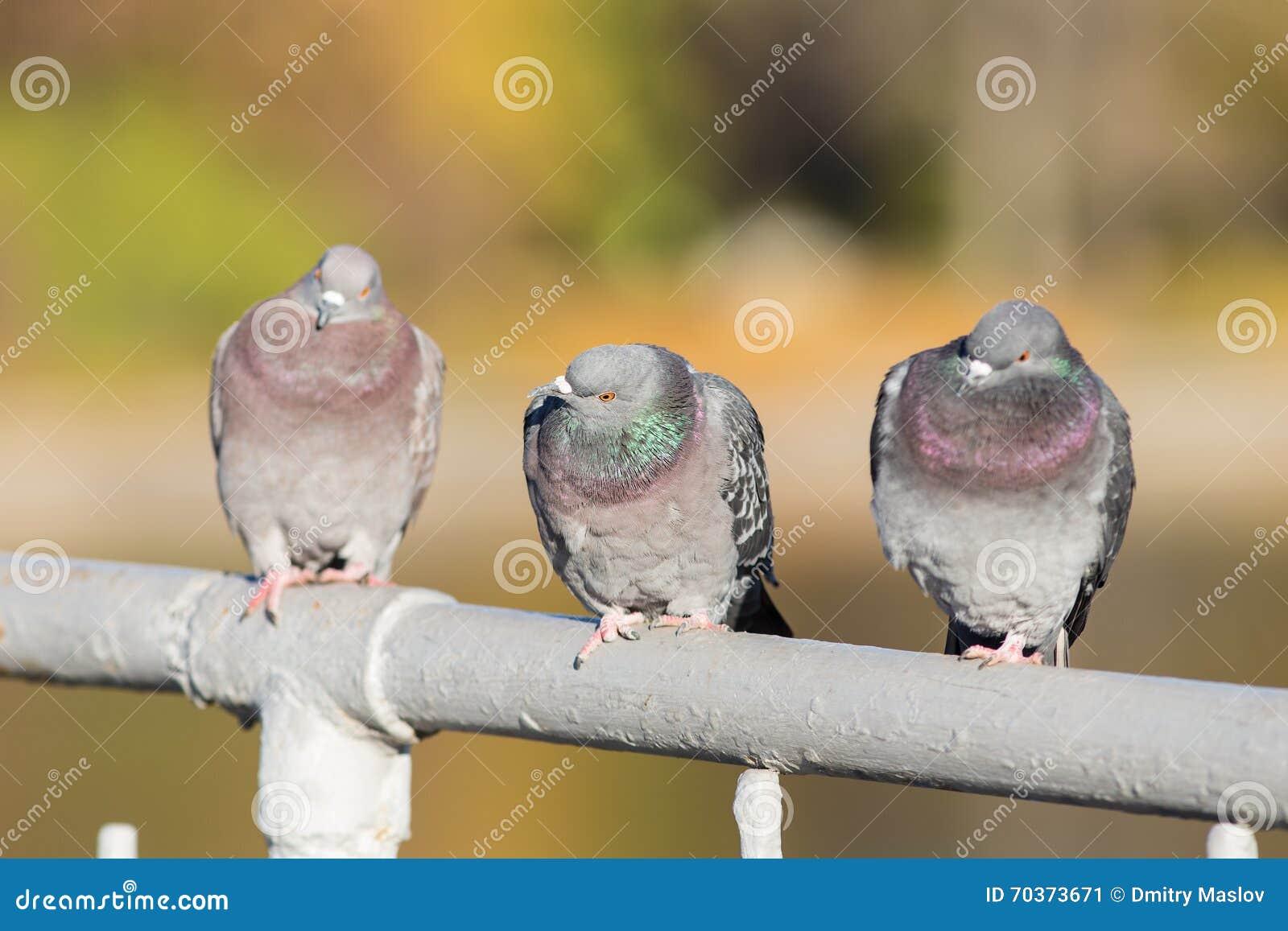Três pombos fecham-se acima
