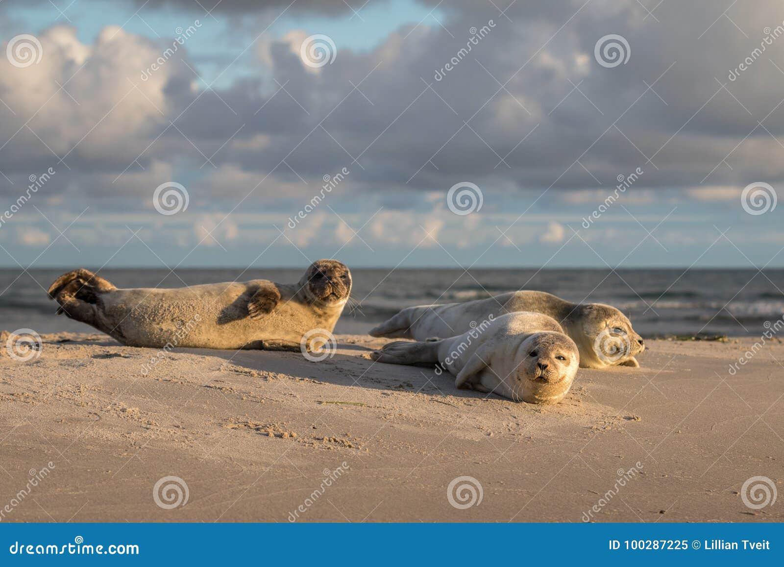 Três selos de porto, vitulina do Phoca, descansando na praia Amanhecer em Grenen, Dinamarca