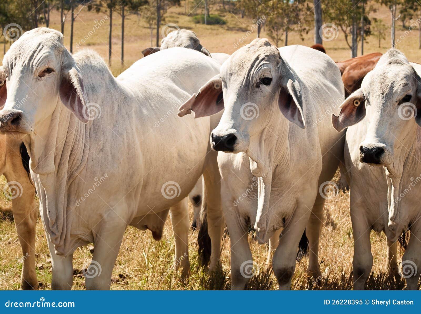 Três vacas de carne cinzentas do Brahman