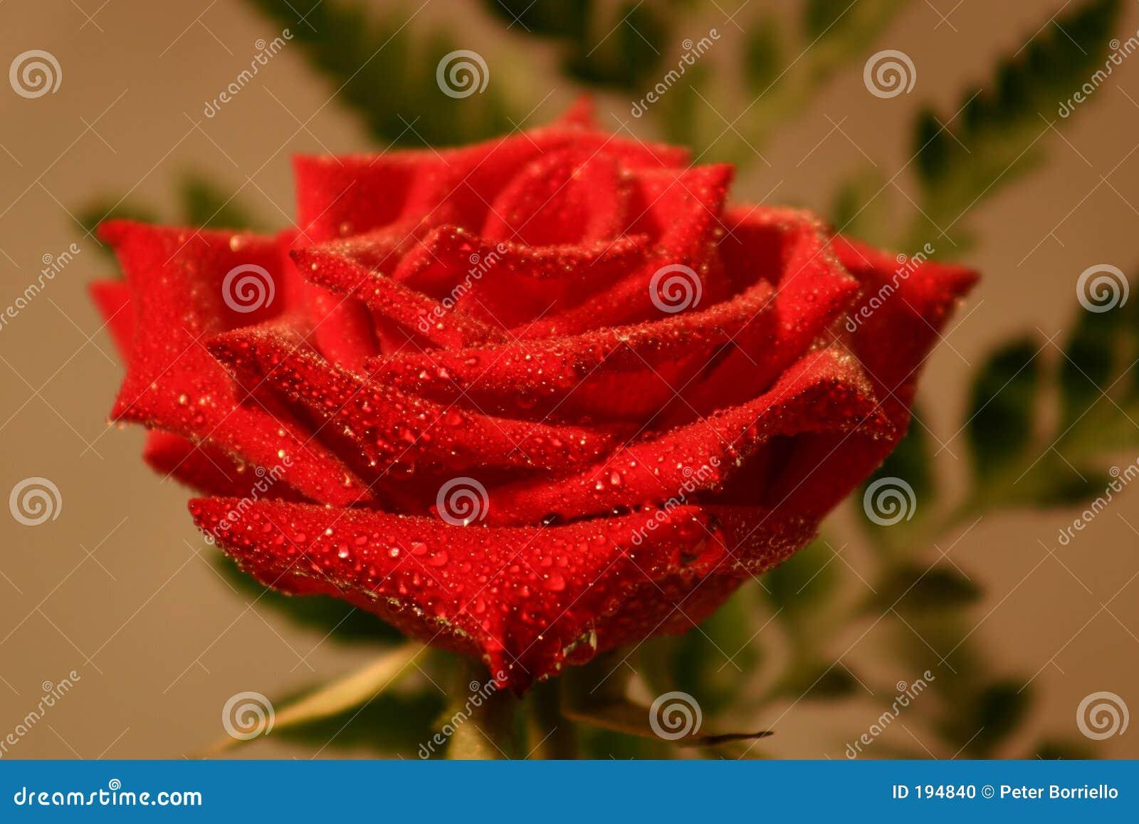 Tröpfchen Rose