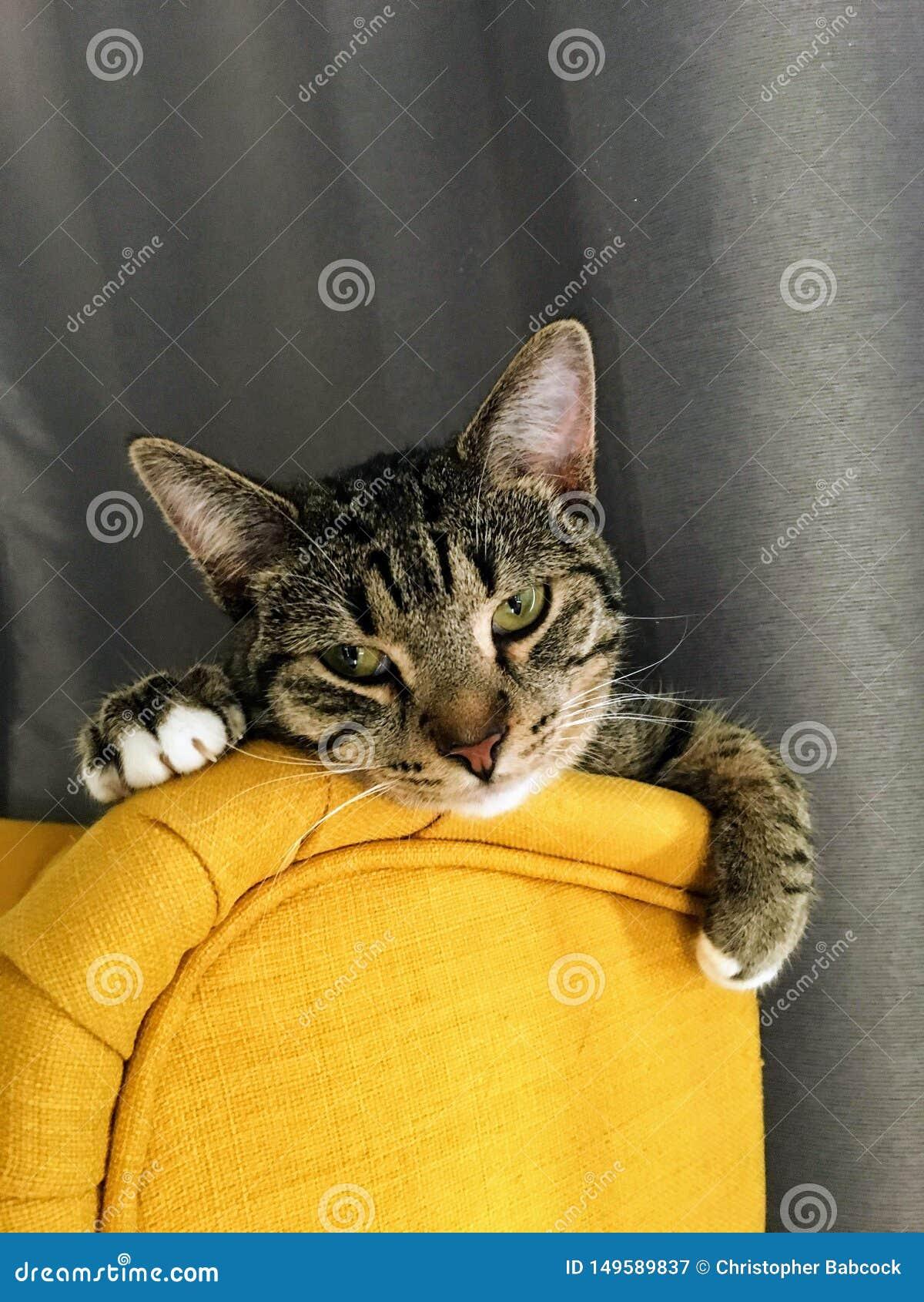 Trötta äldre grå färger och en brun randig kattunge som vilar wearily hennes huvud på överkanten av en gul stol med gardinerna ba