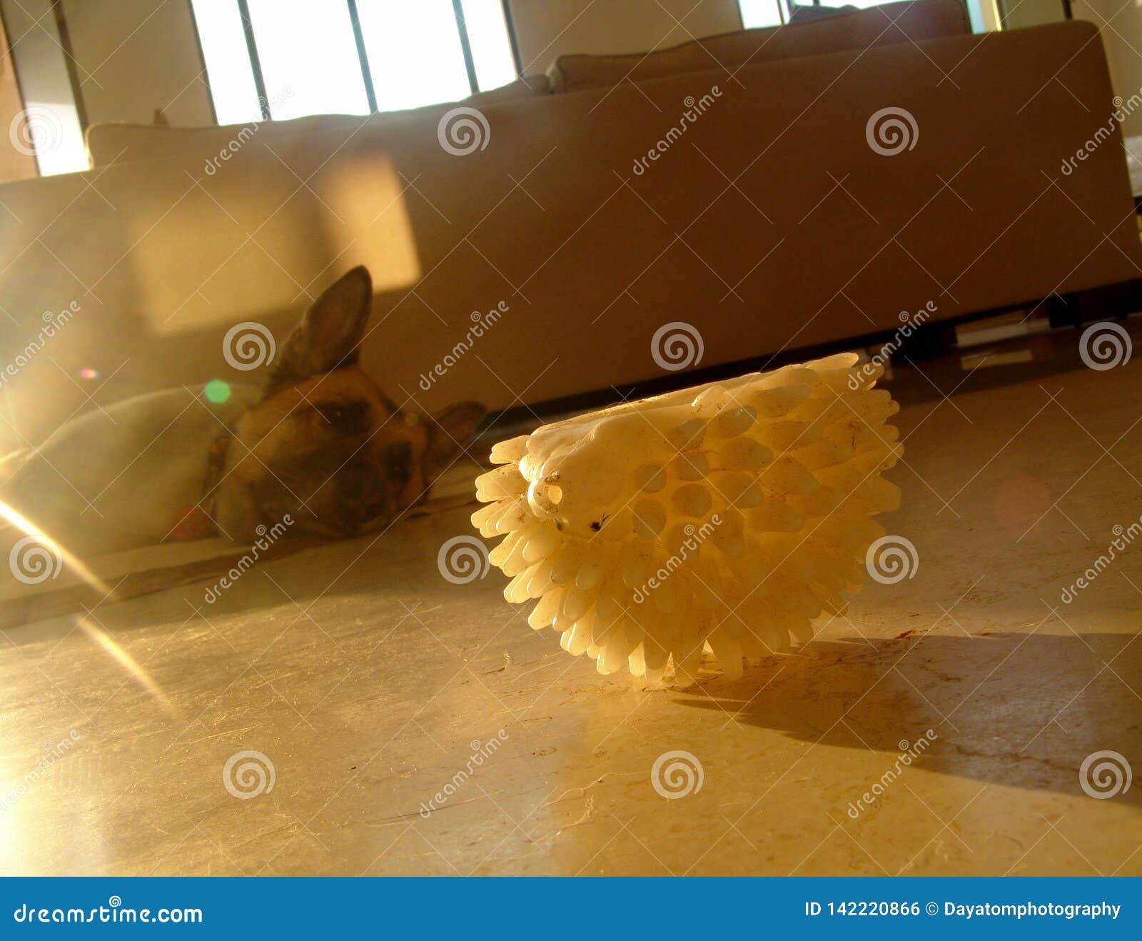 Tröttad gammal hund som inomhus som lägger på golvet, är i huvudrollen på en vit leksak för gummihusdjur, i mitt- morgonsolljus s