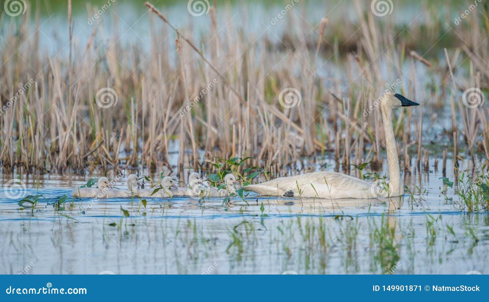 Trąbkarza łabędź rodzic na pięknym pogodnym wiosna dniu nabierającym Crex łąk przyrody teren - z ich ślicznymi dzieci łabędziątka