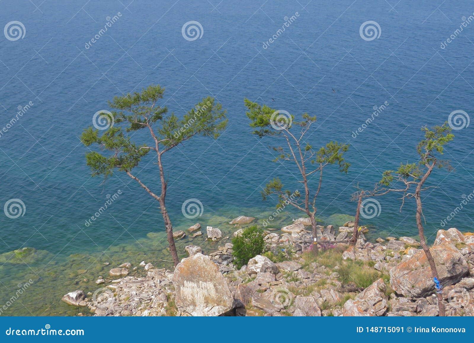 Tr?s pinhos na costa rochosa do Lago Baikal