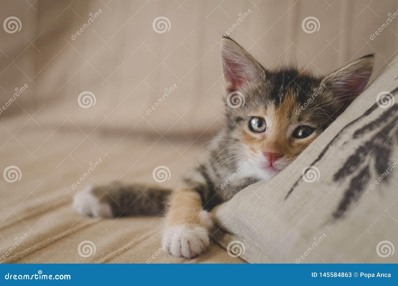 Tr?ttat r?ddade den 6 veckor kalik?kattungen med ljusa ?gon som ser kameran och vilar p? soffan