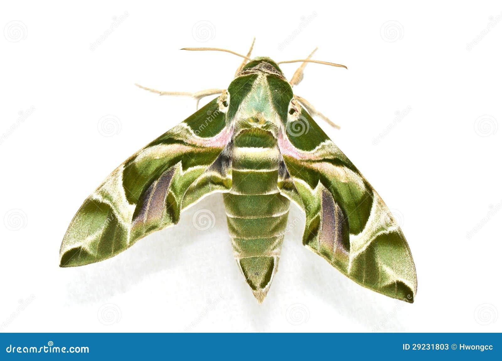 Download Traça De Falcão Do Oleander (nerii De Daphnis) Imagem de Stock - Imagem de mosca, wildlife: 29231803