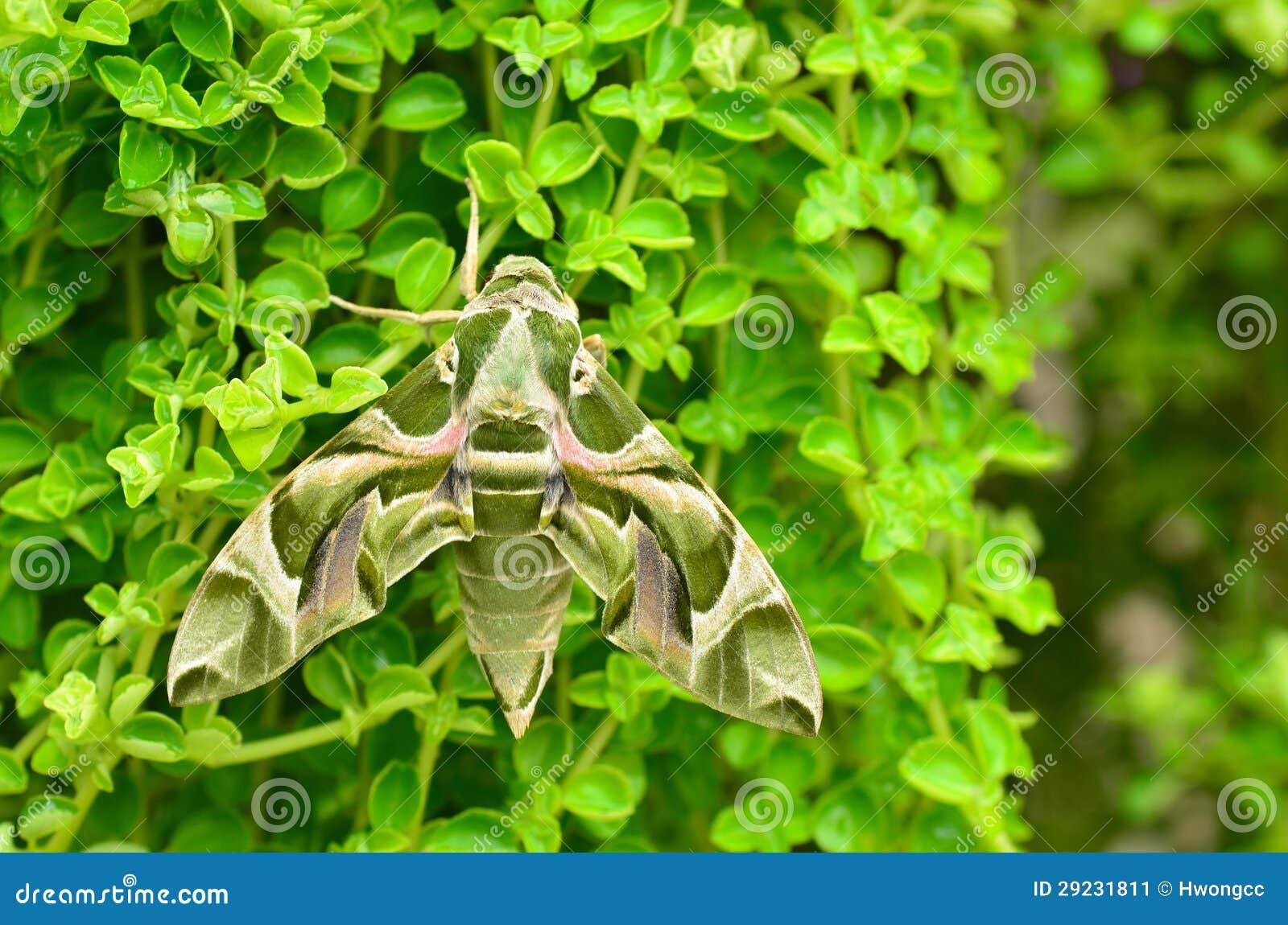 Download Traça De Falcão Do Oleander (nerii De Daphnis) Imagem de Stock - Imagem de traça, nave: 29231811
